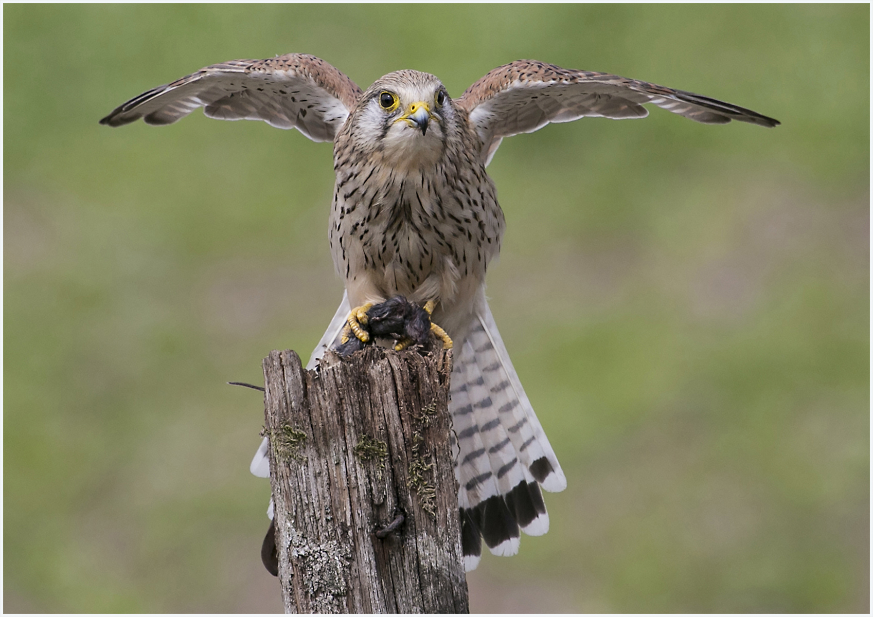 Wild Kestrel with prey by Ann Jeffray
