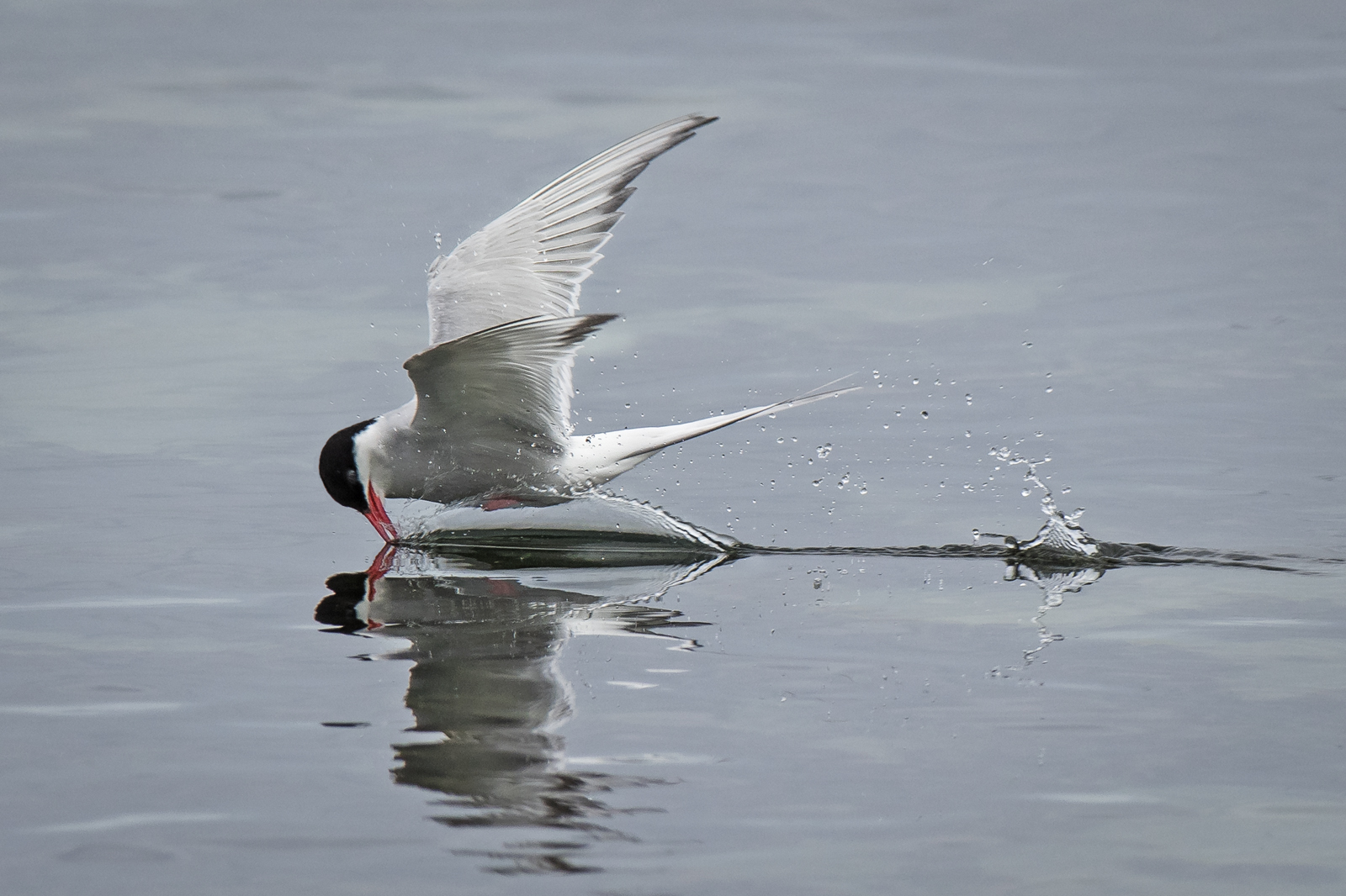Arctic Tern Fishing