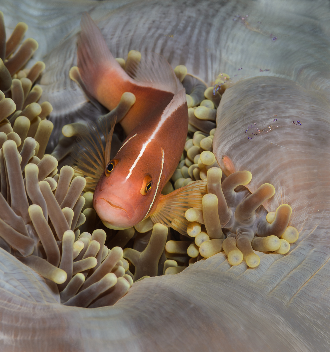 Anemone Fish in Anemone, Philippines
