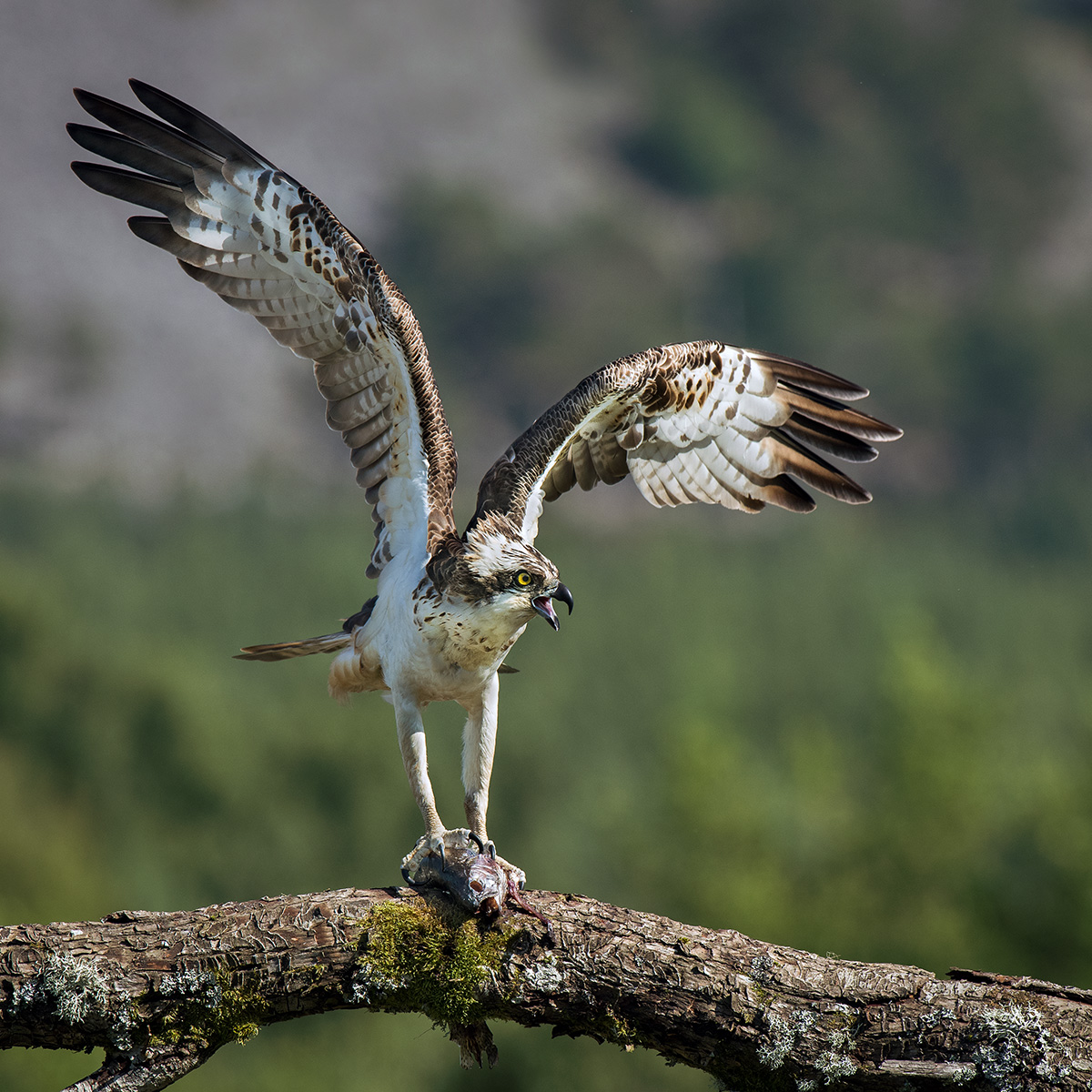 Osprey with salmon