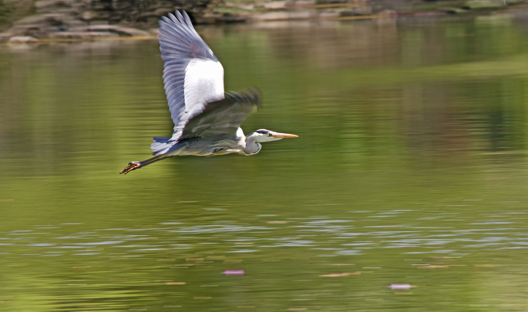 Flying heron aberlady