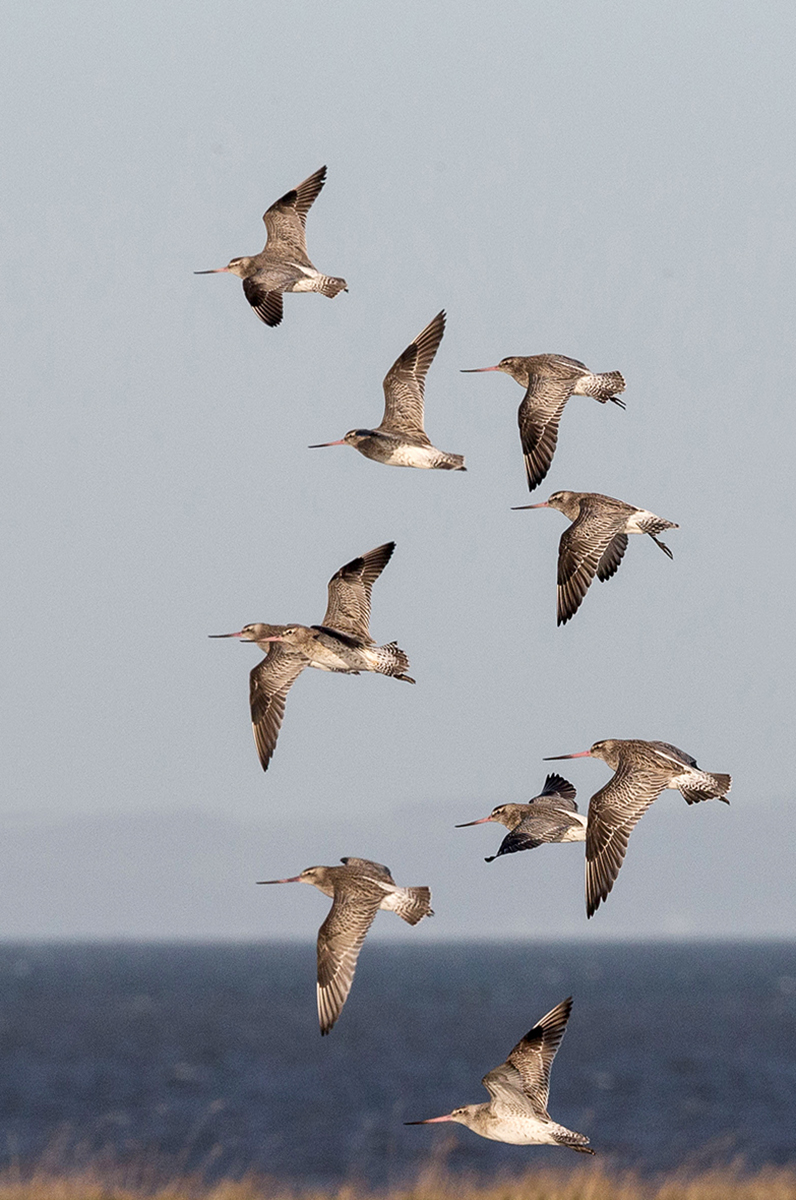 Bar-tailed godwits-4