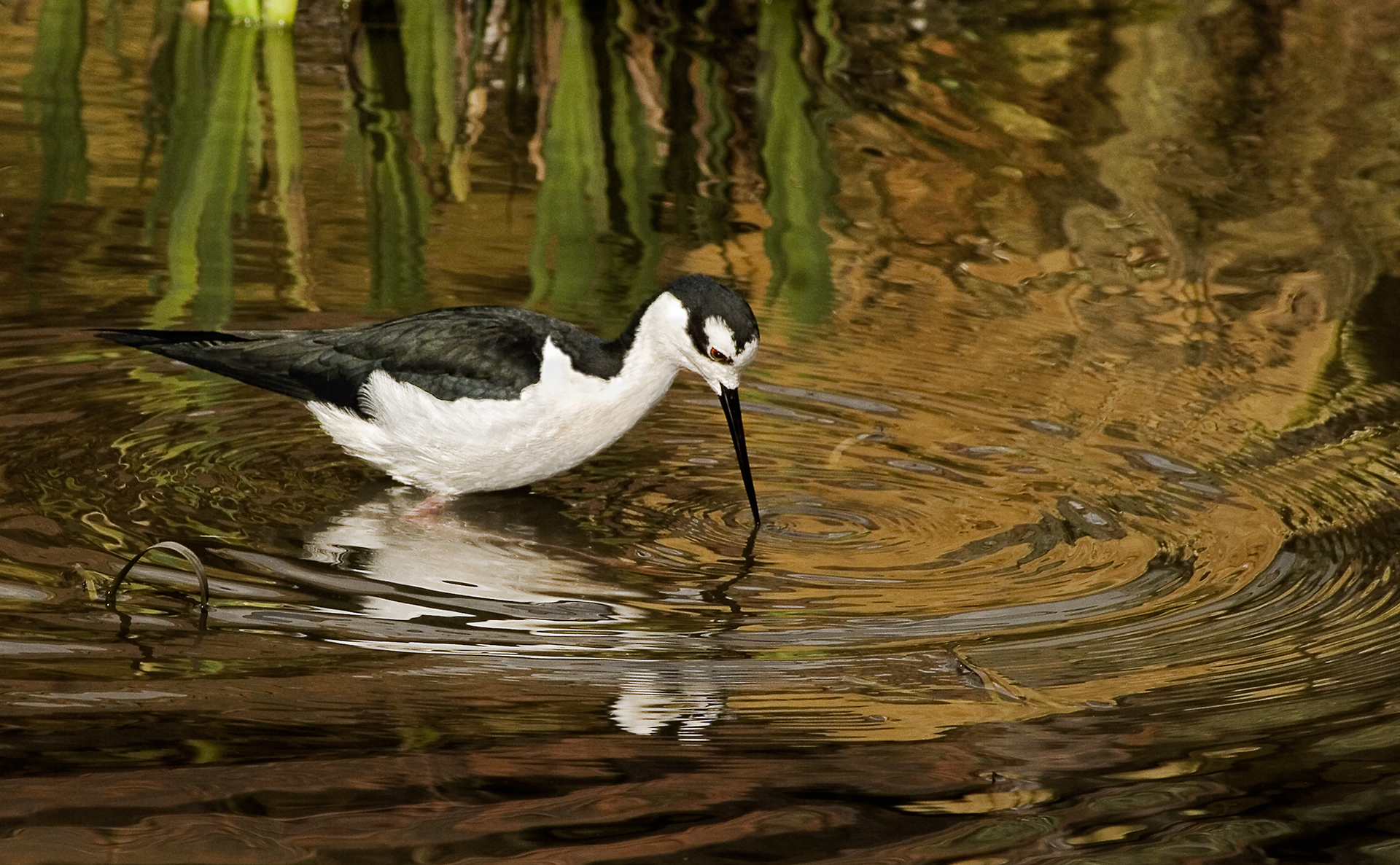 Black-winged stilt-1