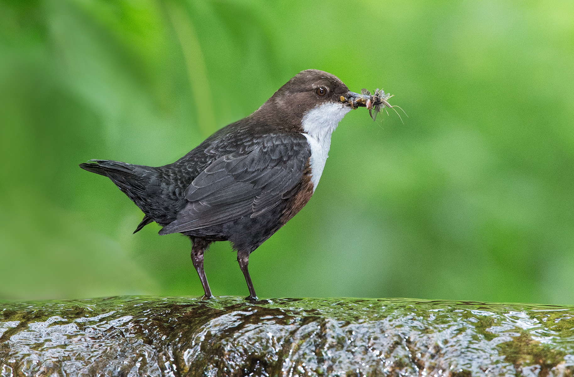 Dipper with grubs-3