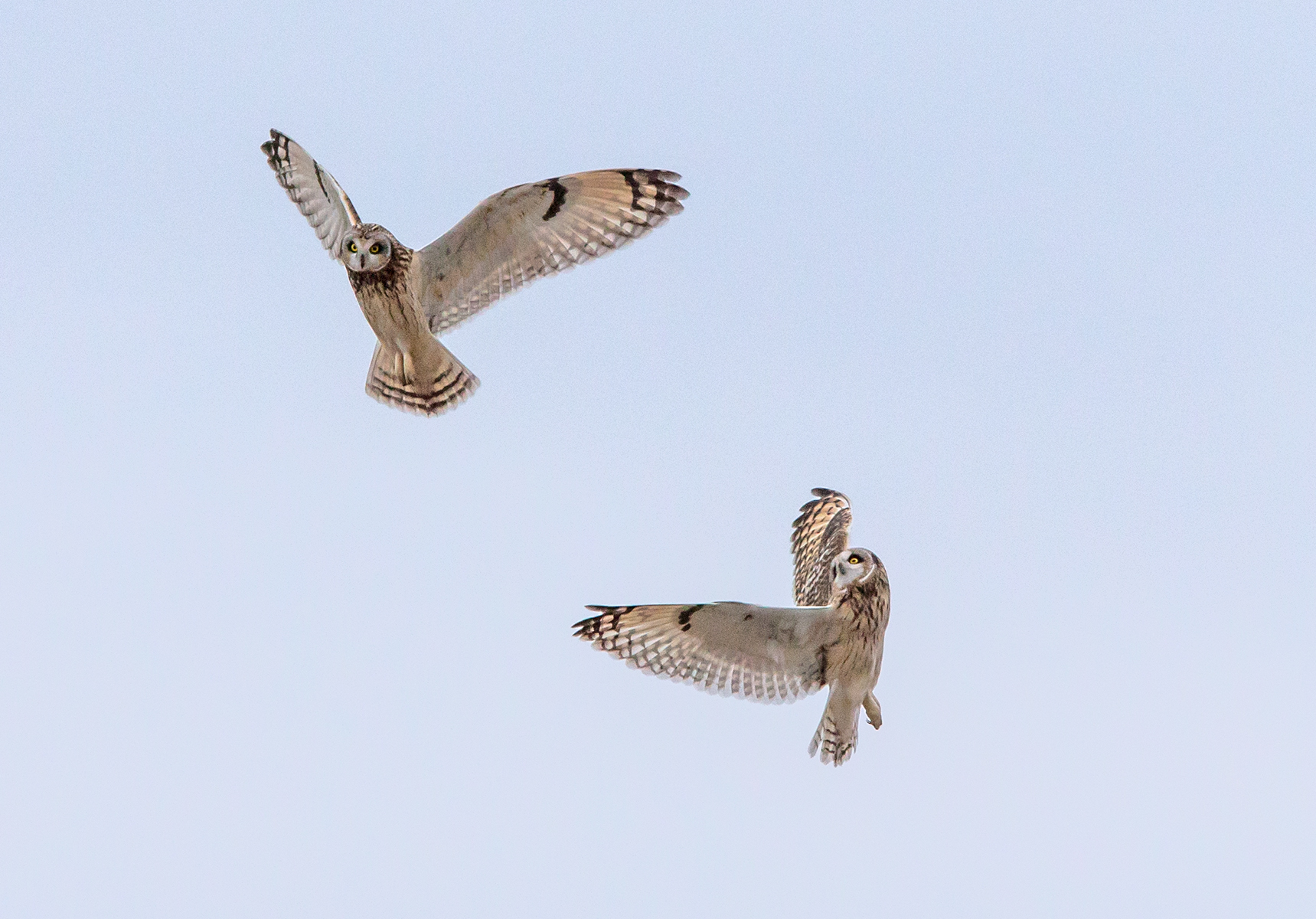 Short-eared owls-2