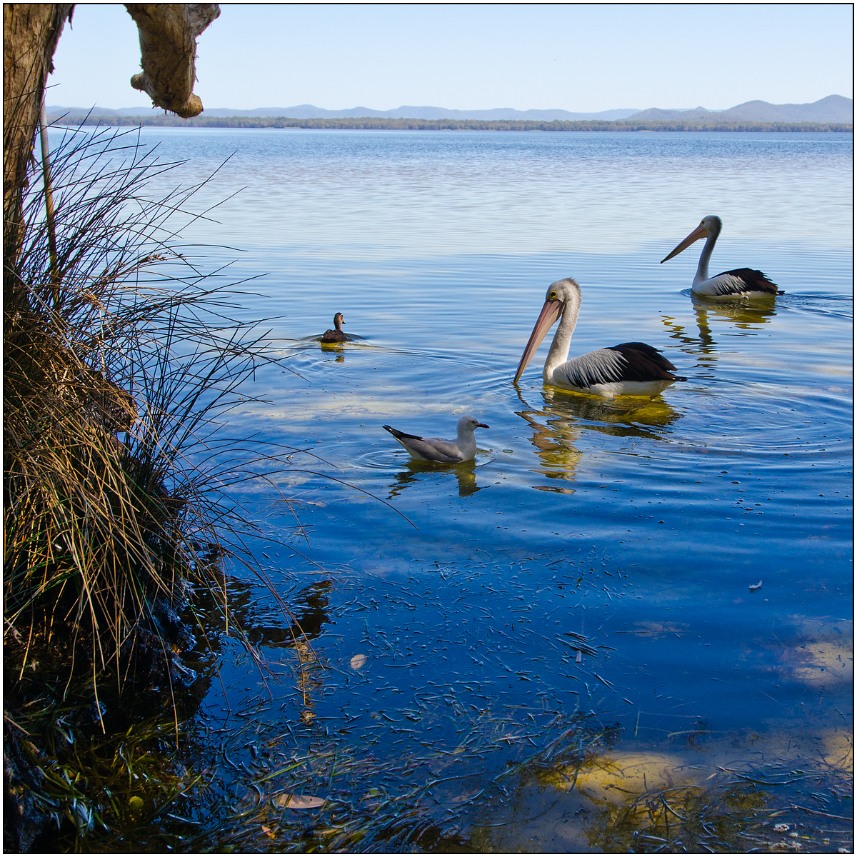 Pelicans at myall lakes