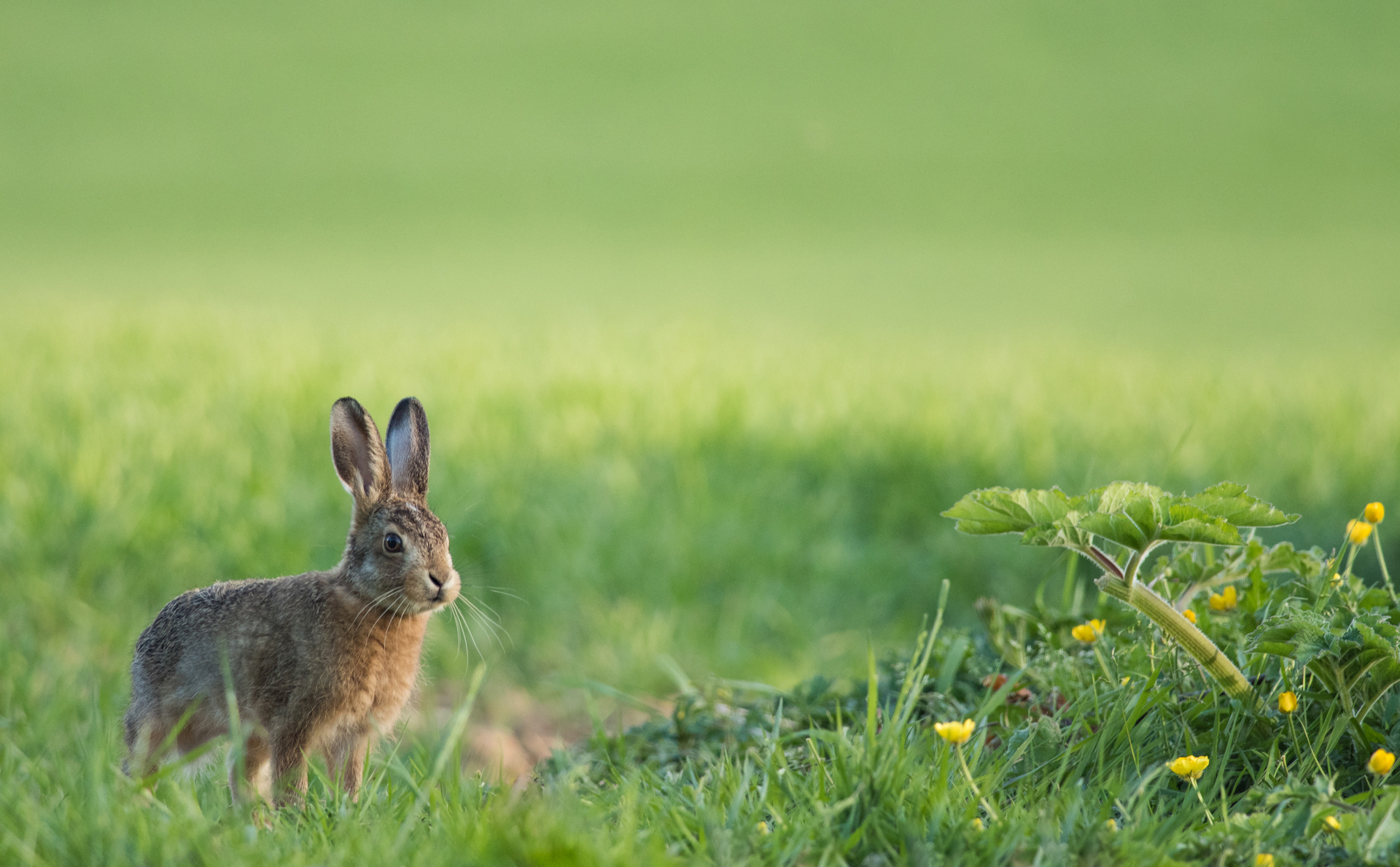 Brownhare1