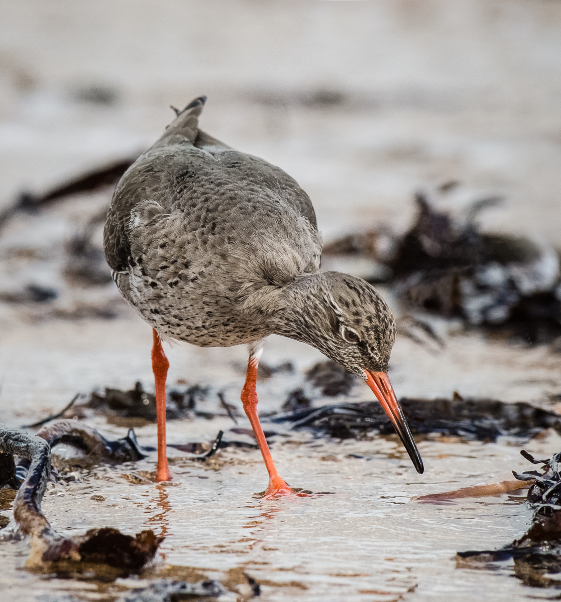 Redshank foraging