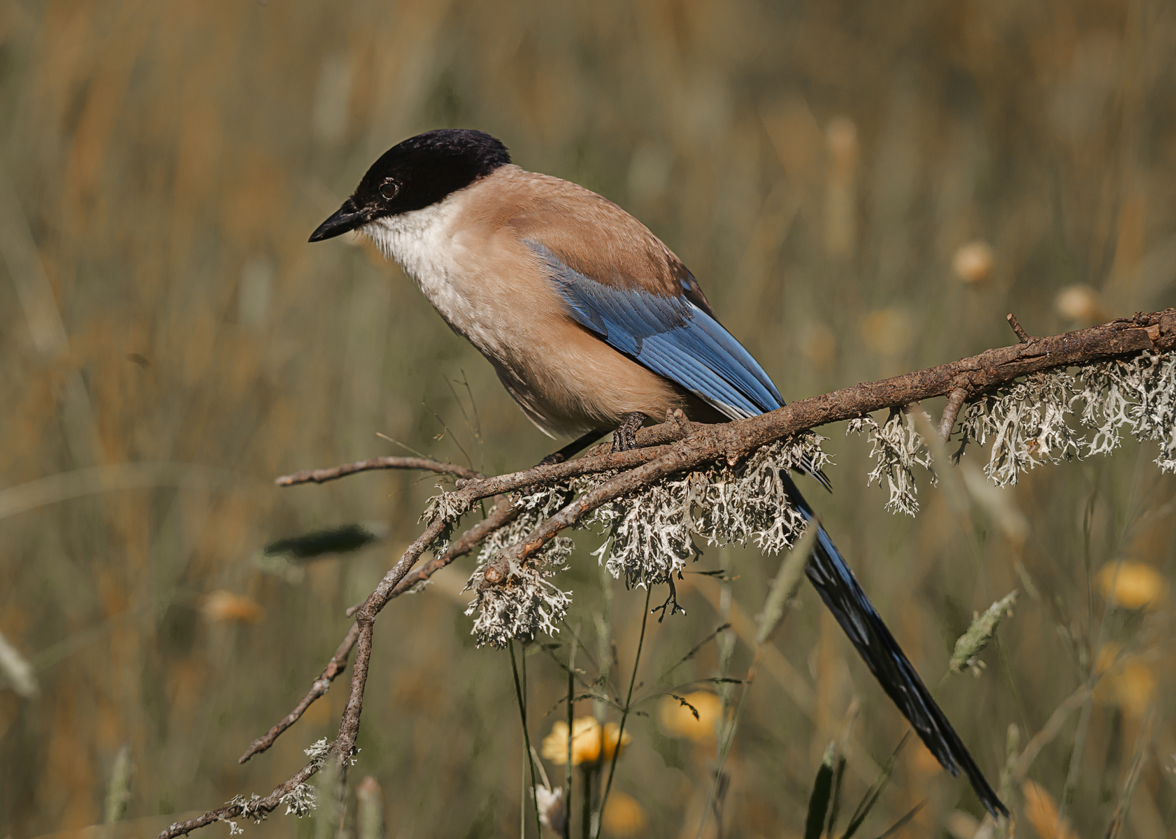 Azurre-winged-magpie