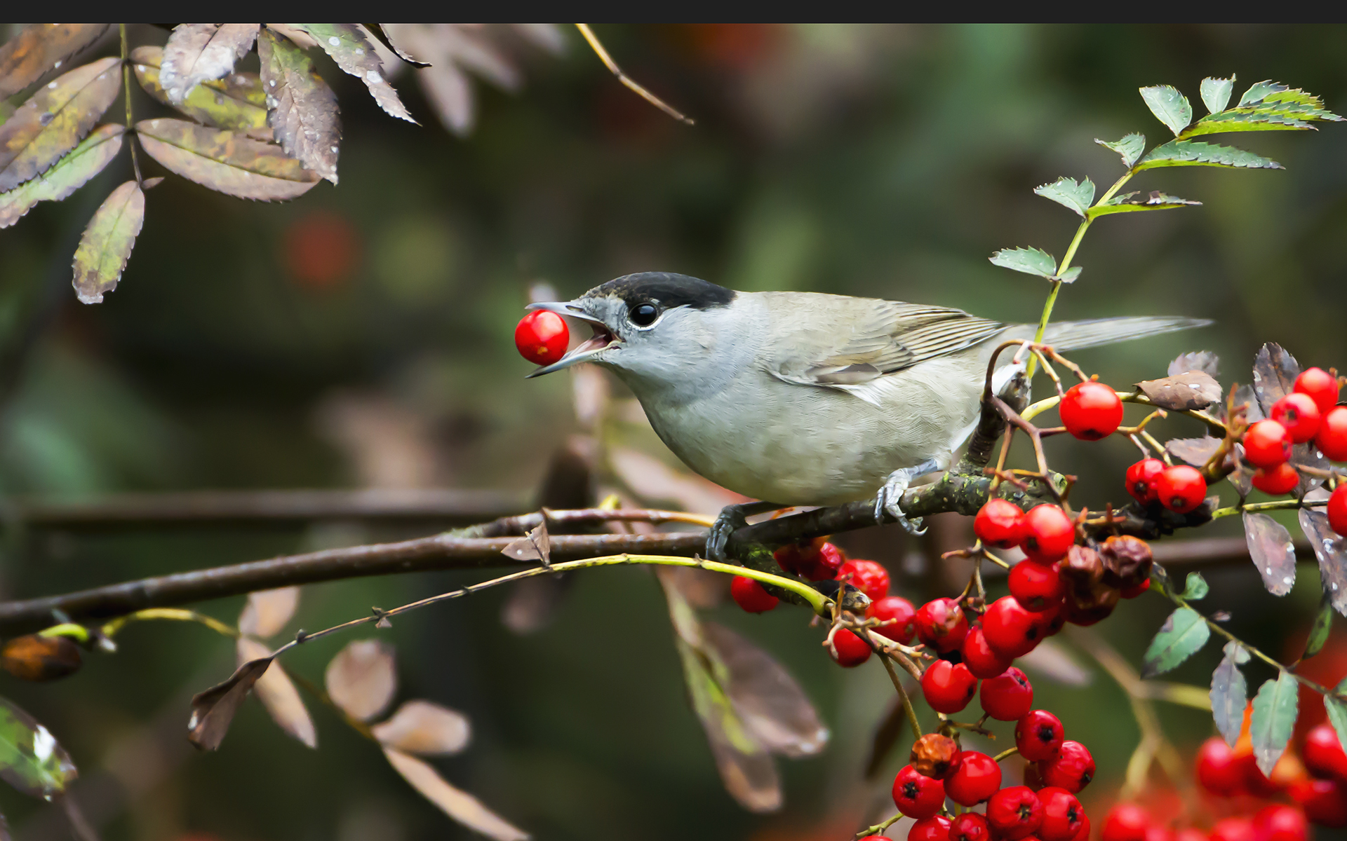 Autumn feast a blackcap