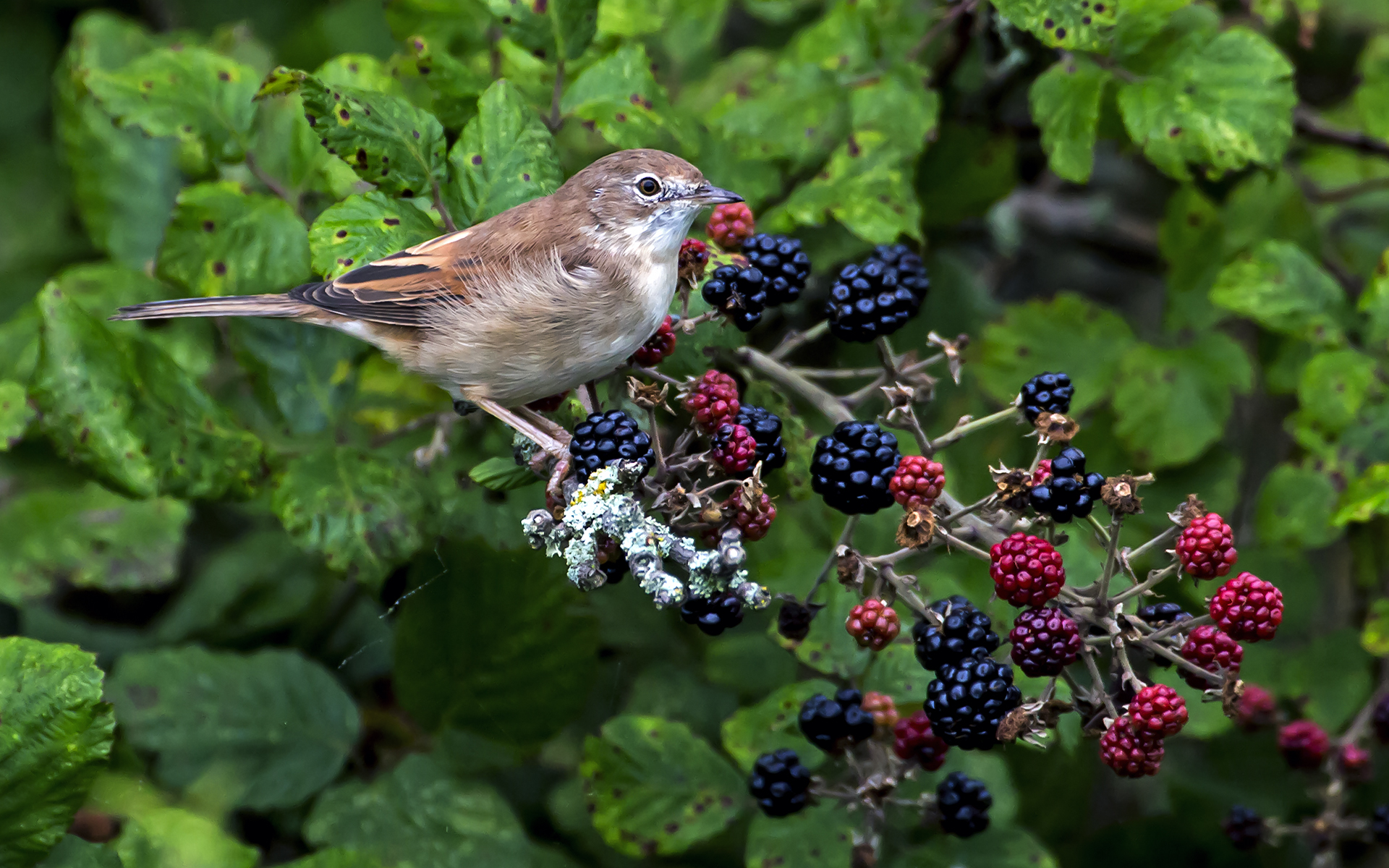 Autumn feast b whitethroat