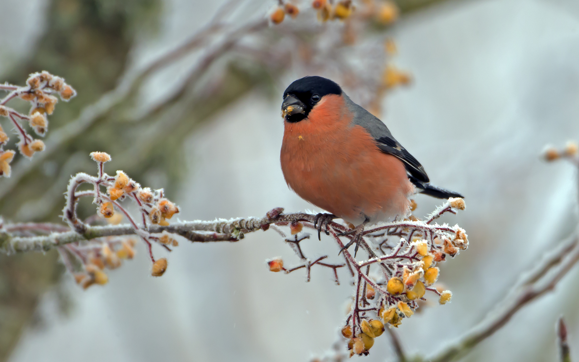 Autumn feast c bullfinch