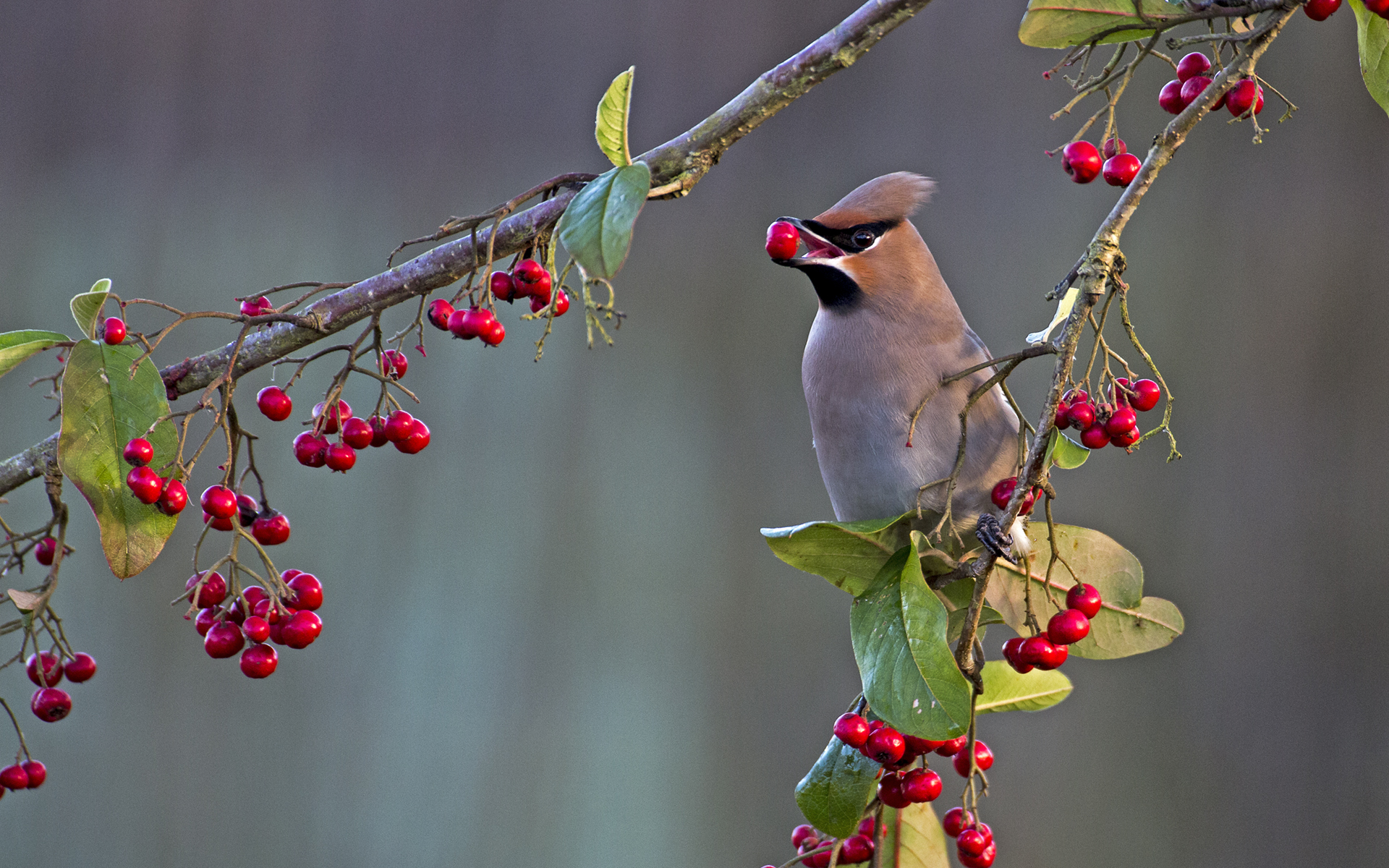 Autumn feast d - waxwing