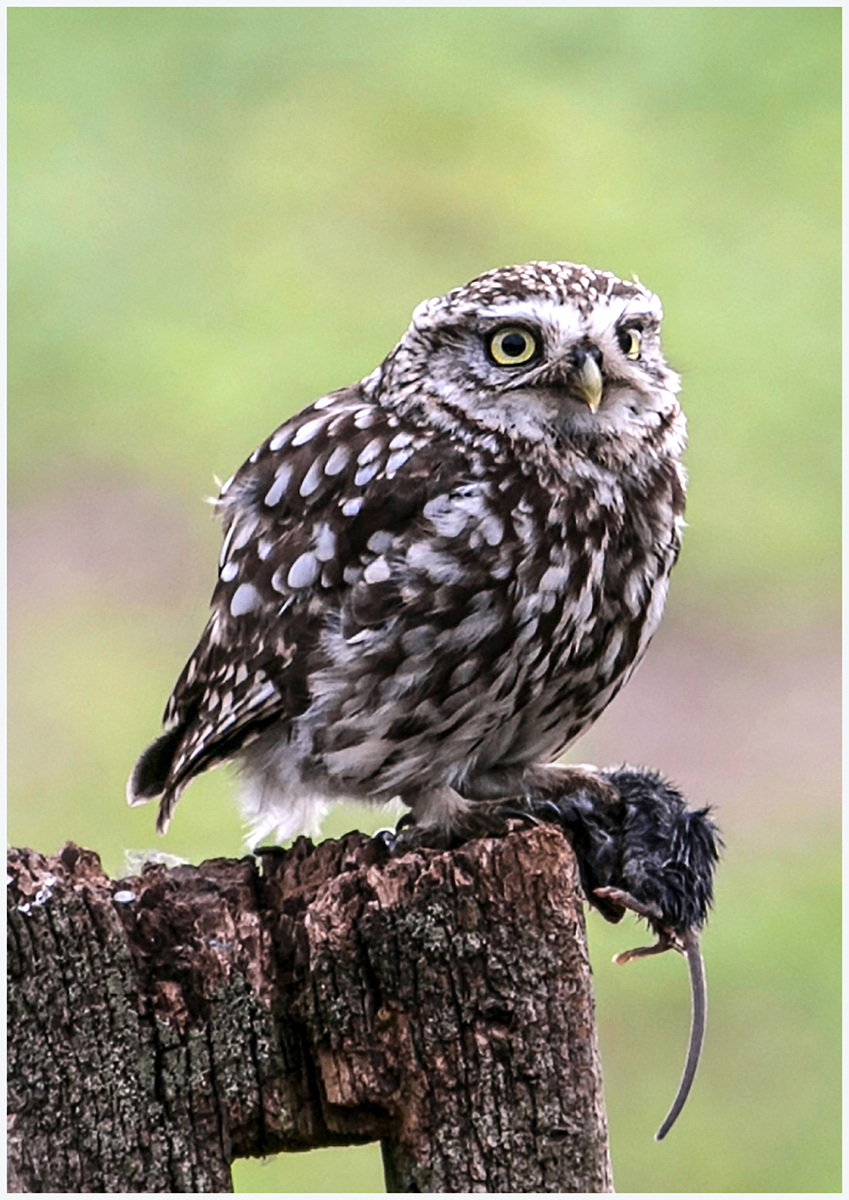 Wild little owl with prey