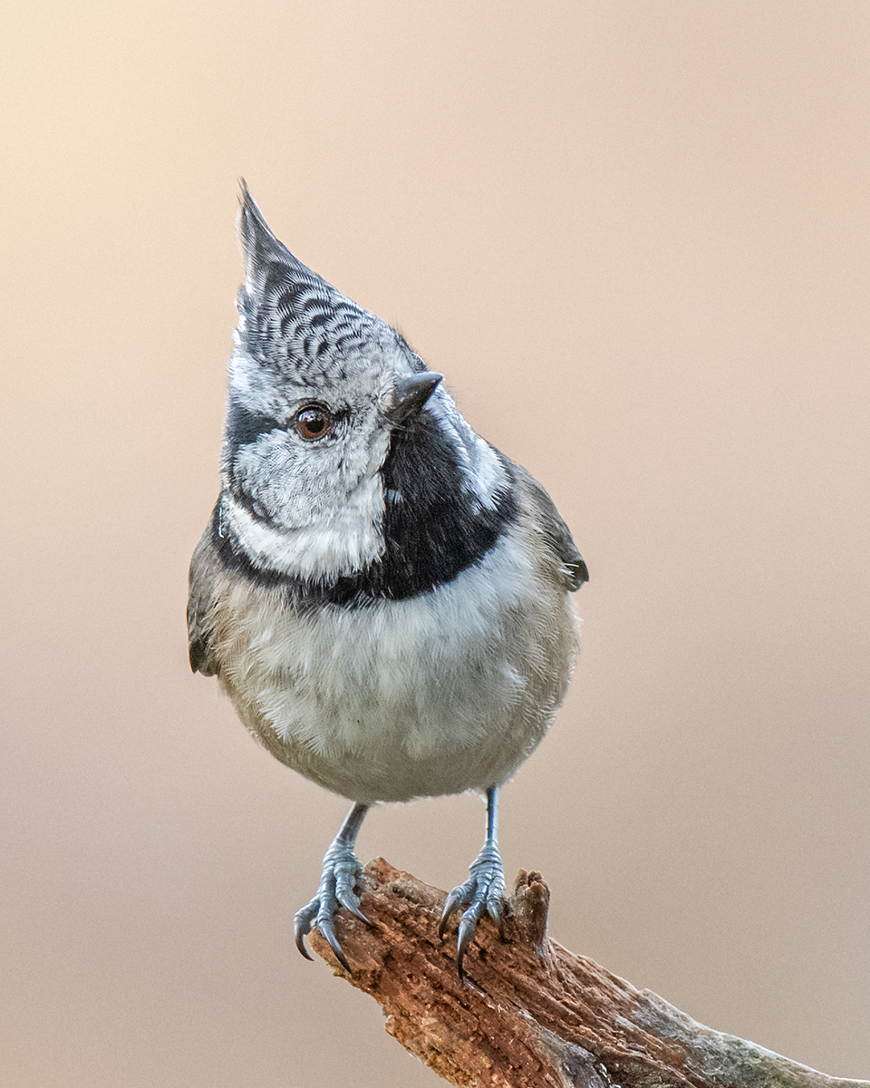 Crested tit portrait