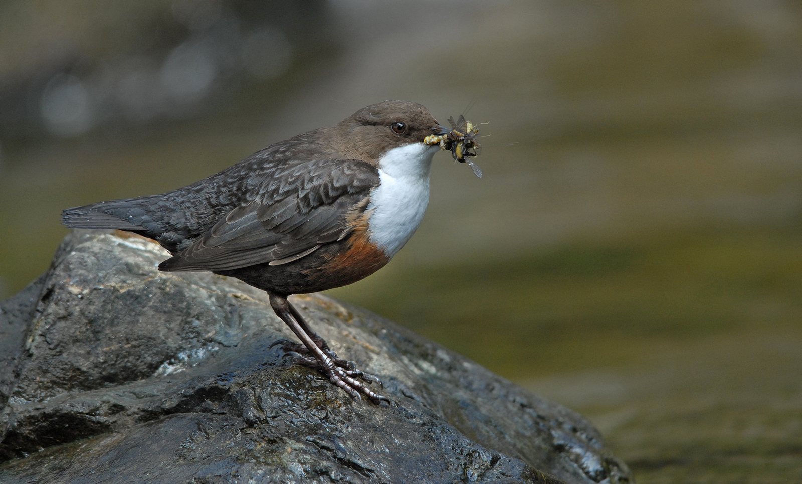 Dipper with prey