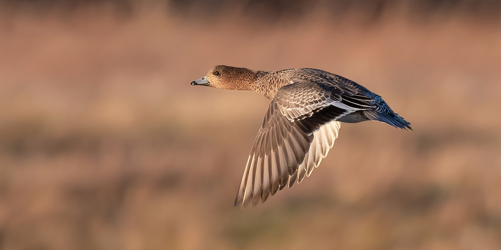 Teal in flight