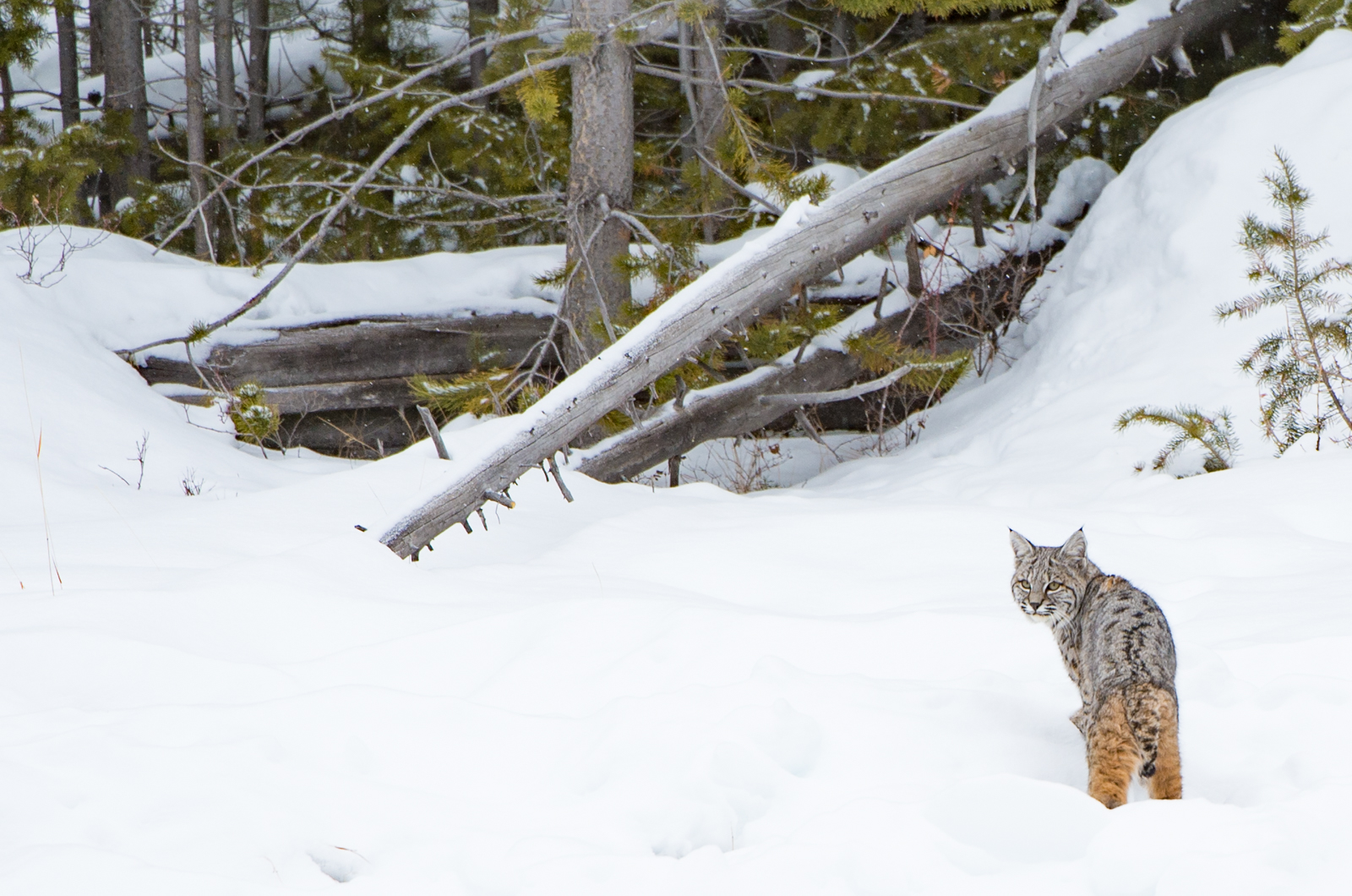 Winter wildlife 2- bobcat