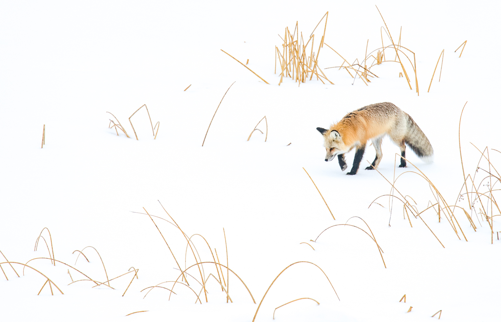 Winter wildlife 3- red fox