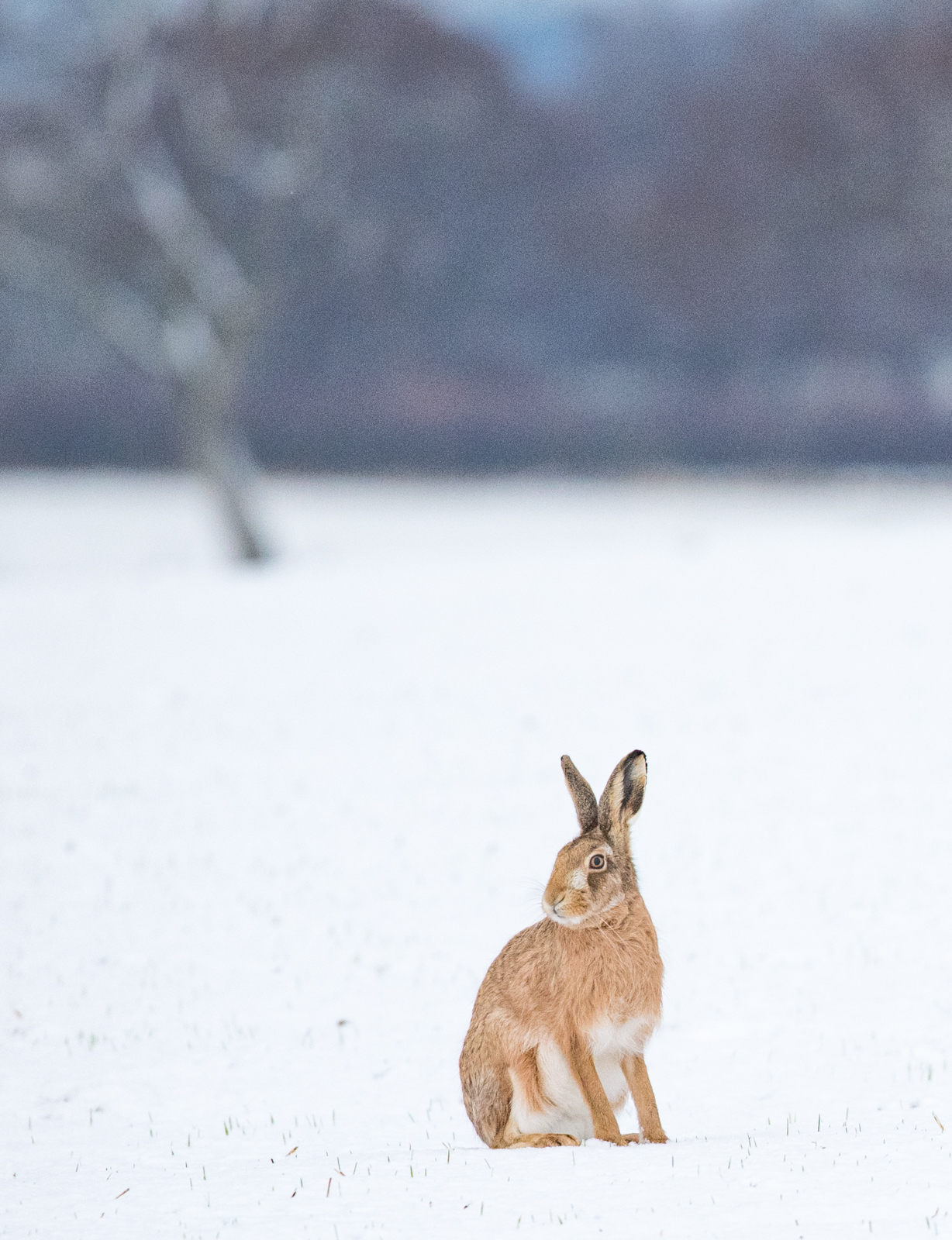 Winter wildlife 4- brown hare