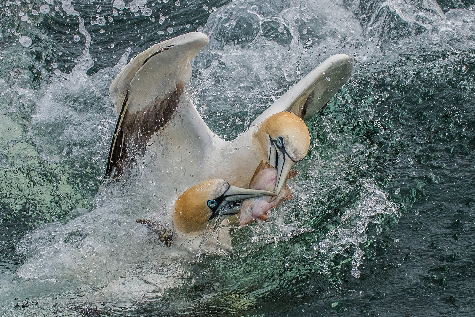 Gannets fighting over fish