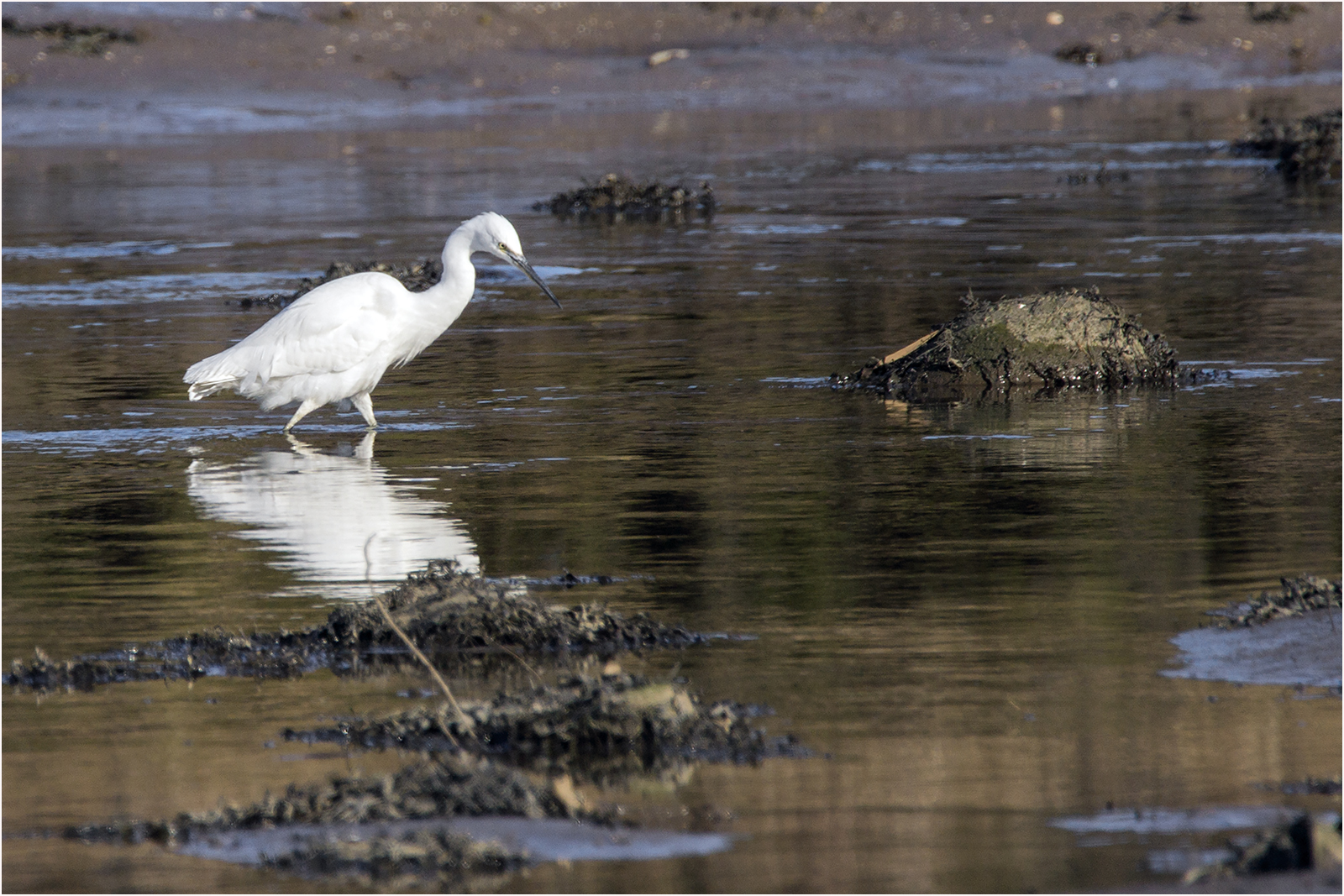Little egret hunting 2.jpg