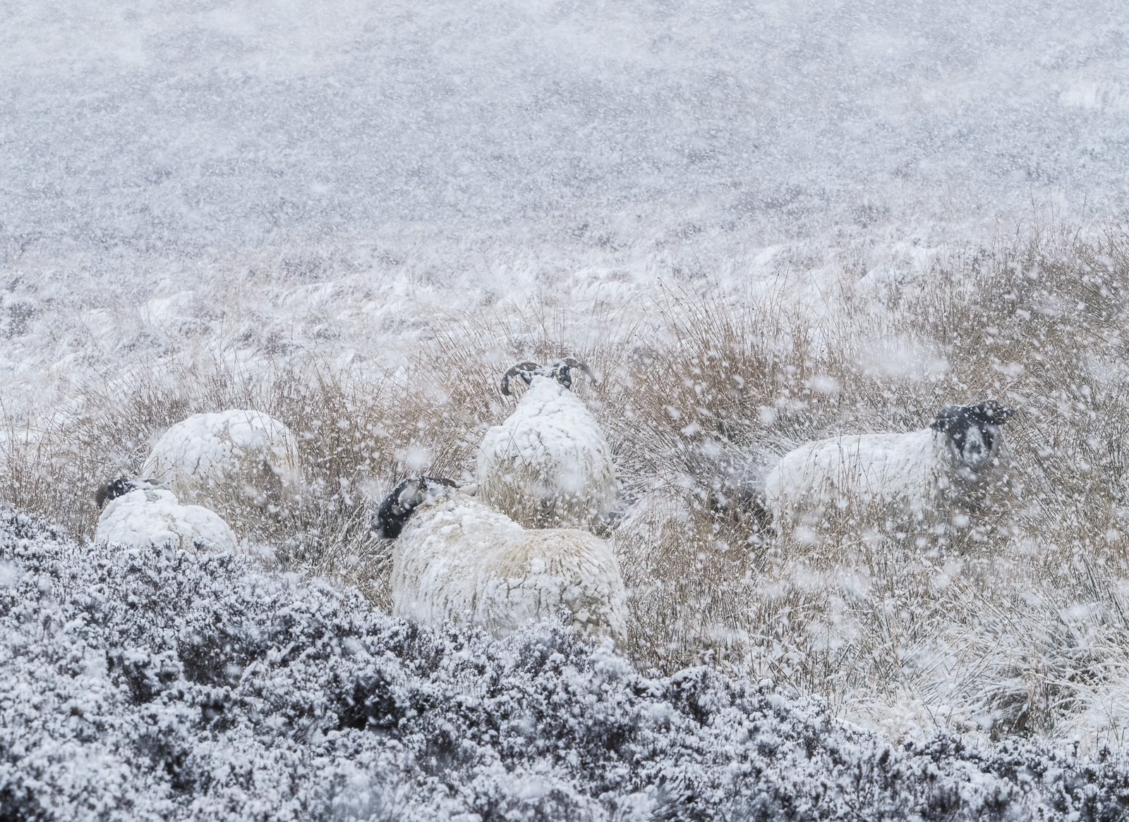 Sheep in the snow.jpg