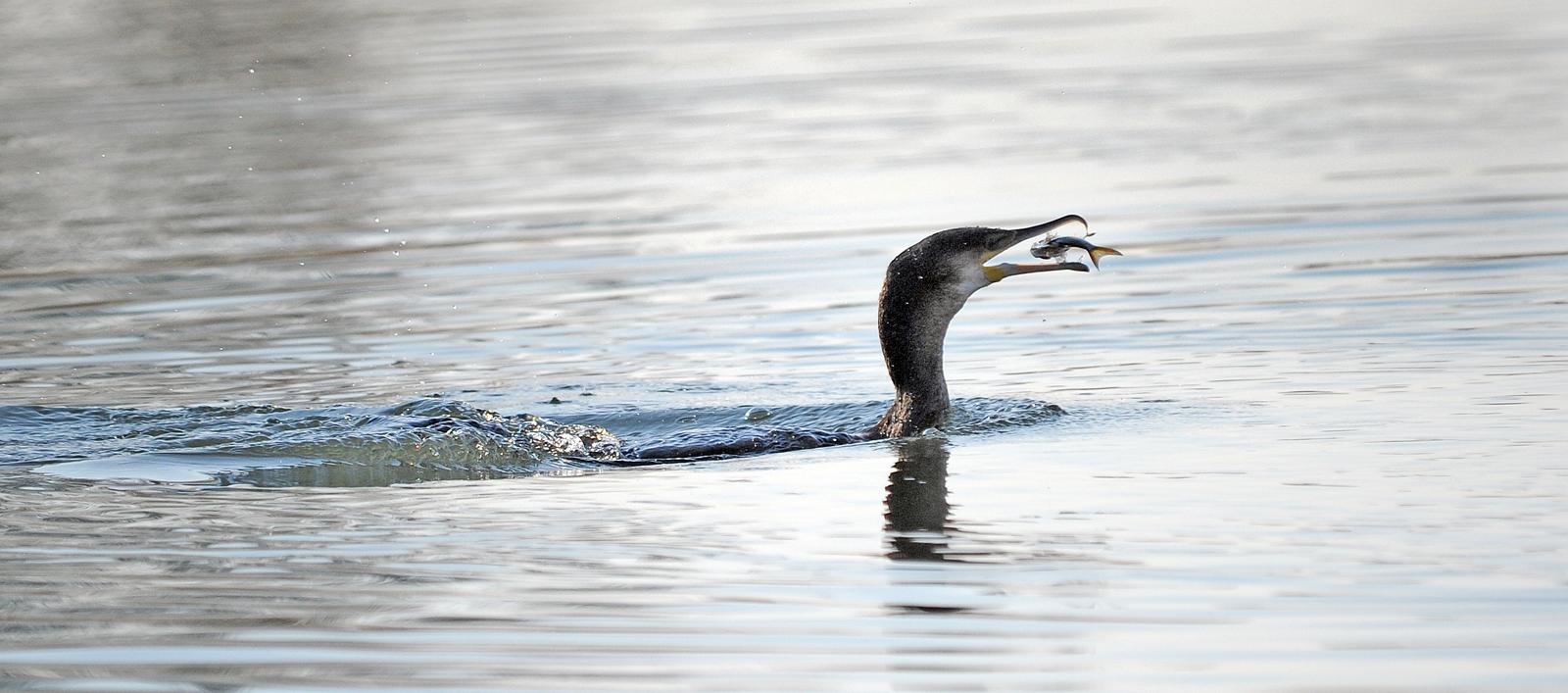 Cormorant catching a roach.jpg