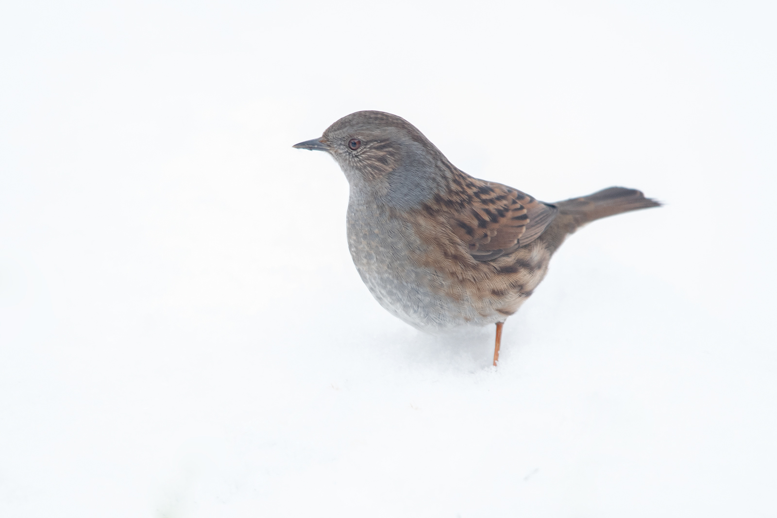 Dunnock in the snow.jpg