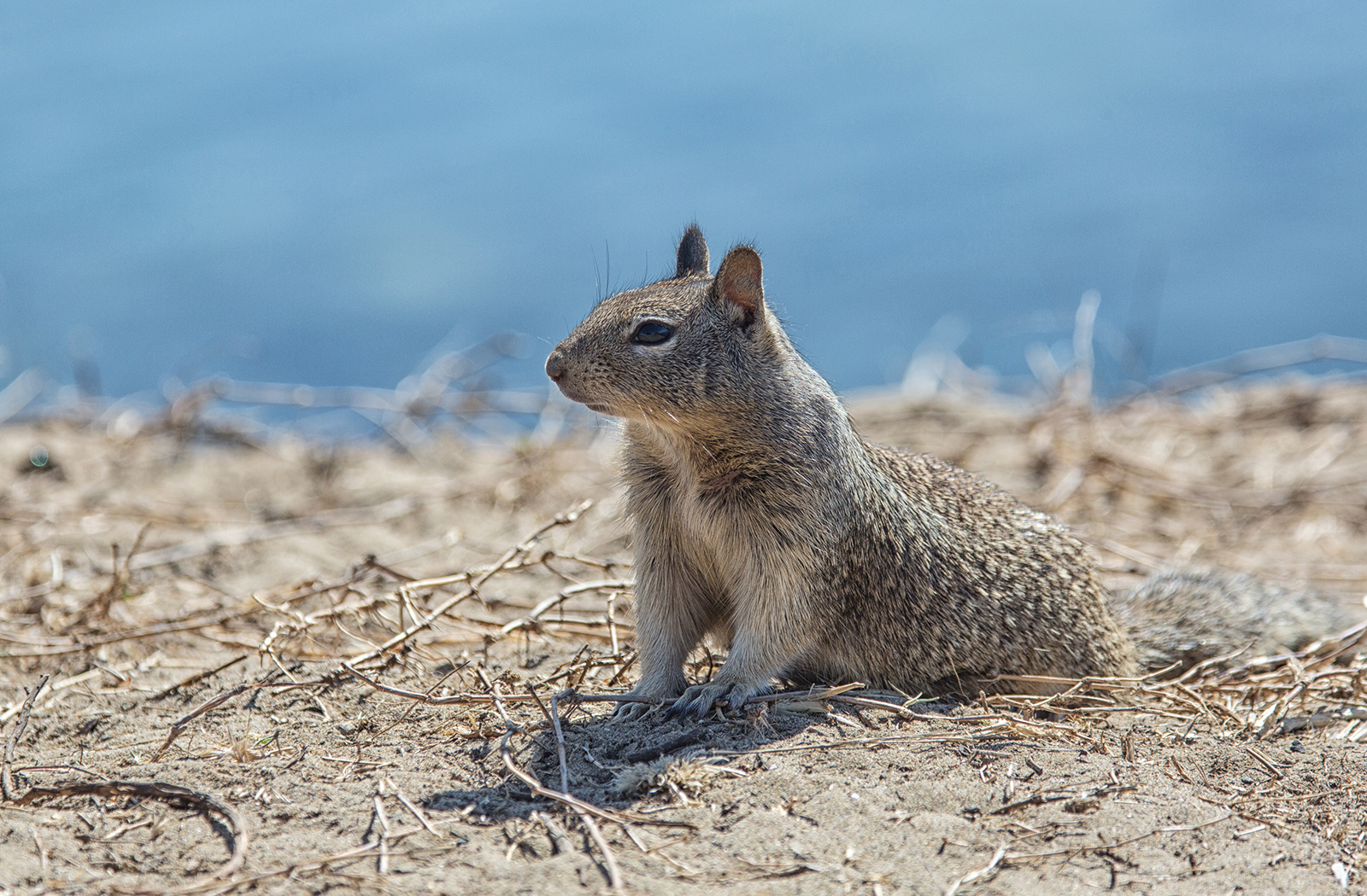 Californian ground squirrel-2.jpg