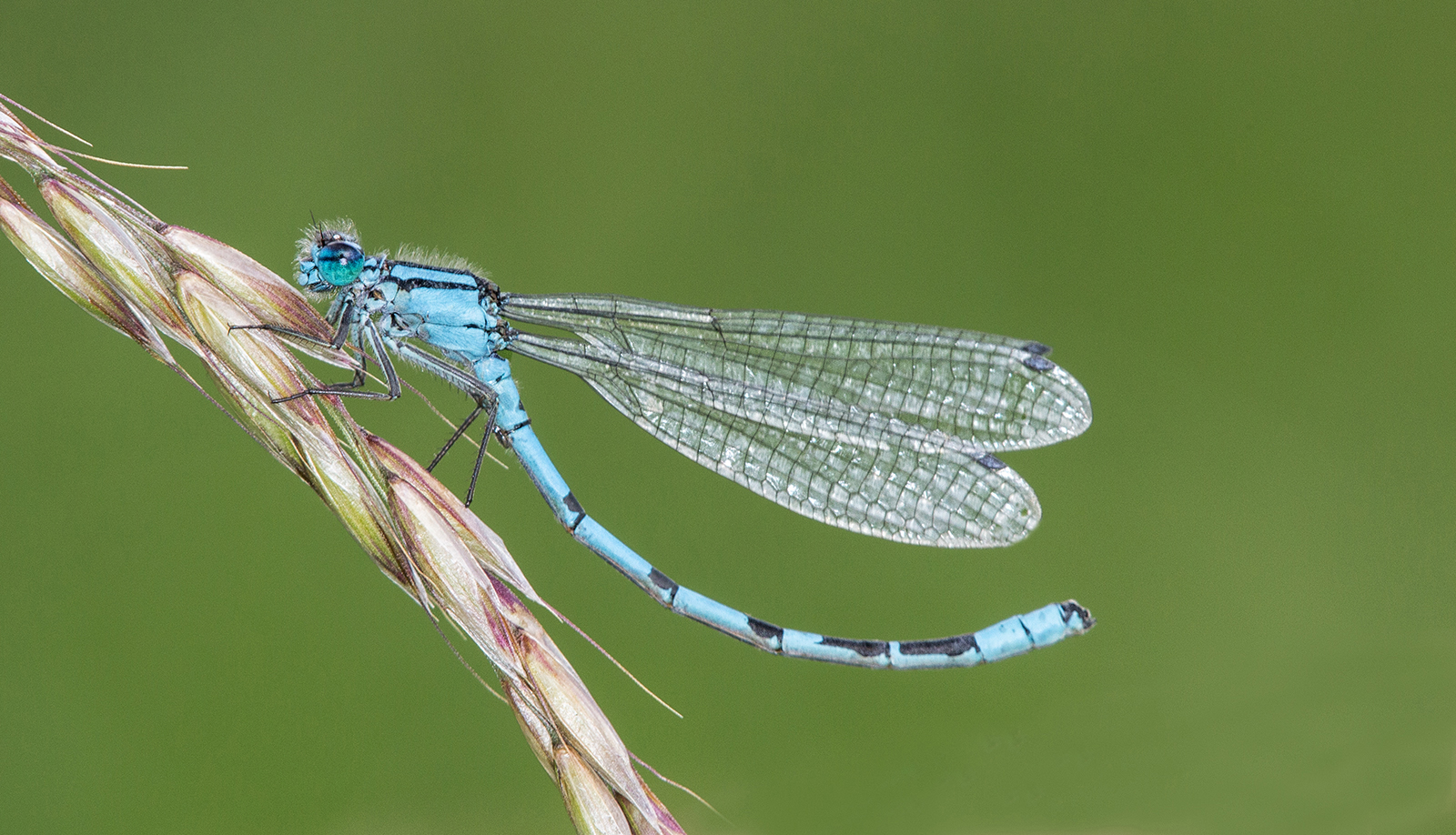 Common blue damselfly extending abdomen-4.jpg
