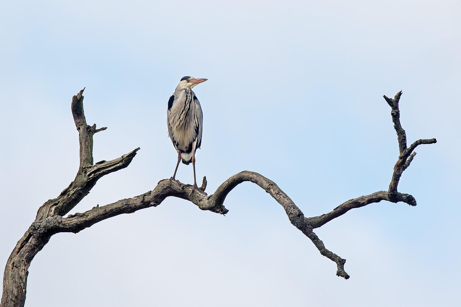 Grey heron-4.jpg