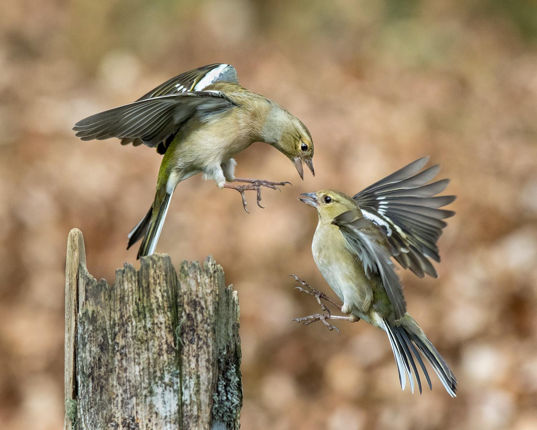 Squabbling finches-1.jpg