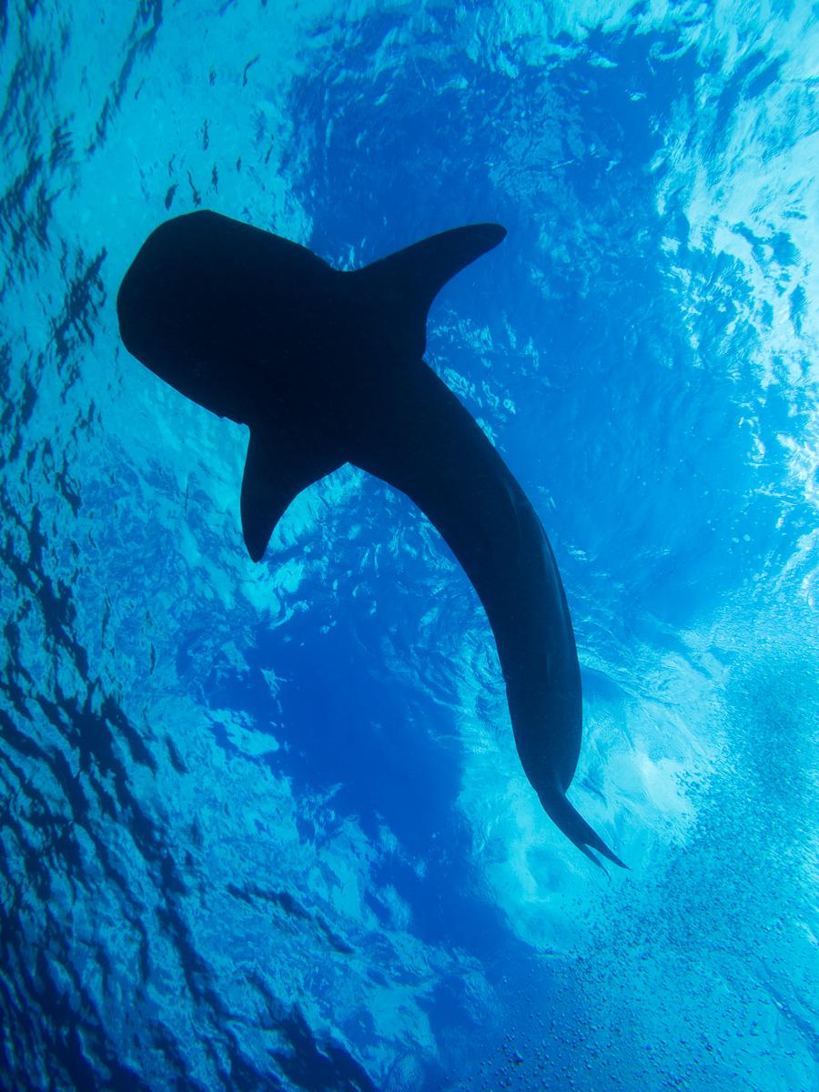 Whale shark 1-4.jpg