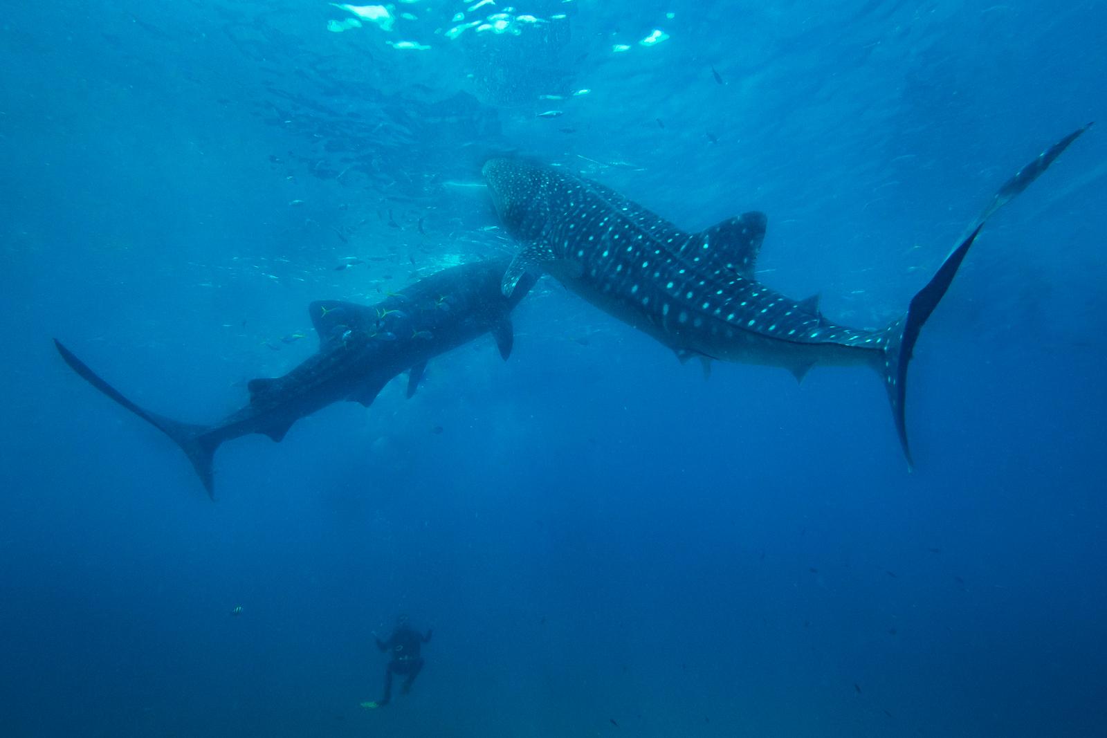 Whale shark 3-4.jpg