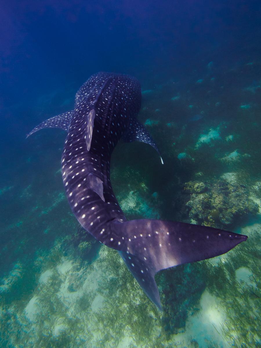 Whale shark 4-4.jpg