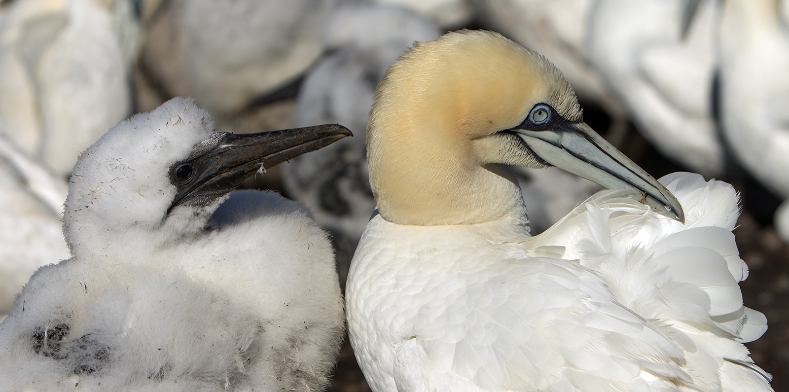 Gannet and chick set young ones.jpg