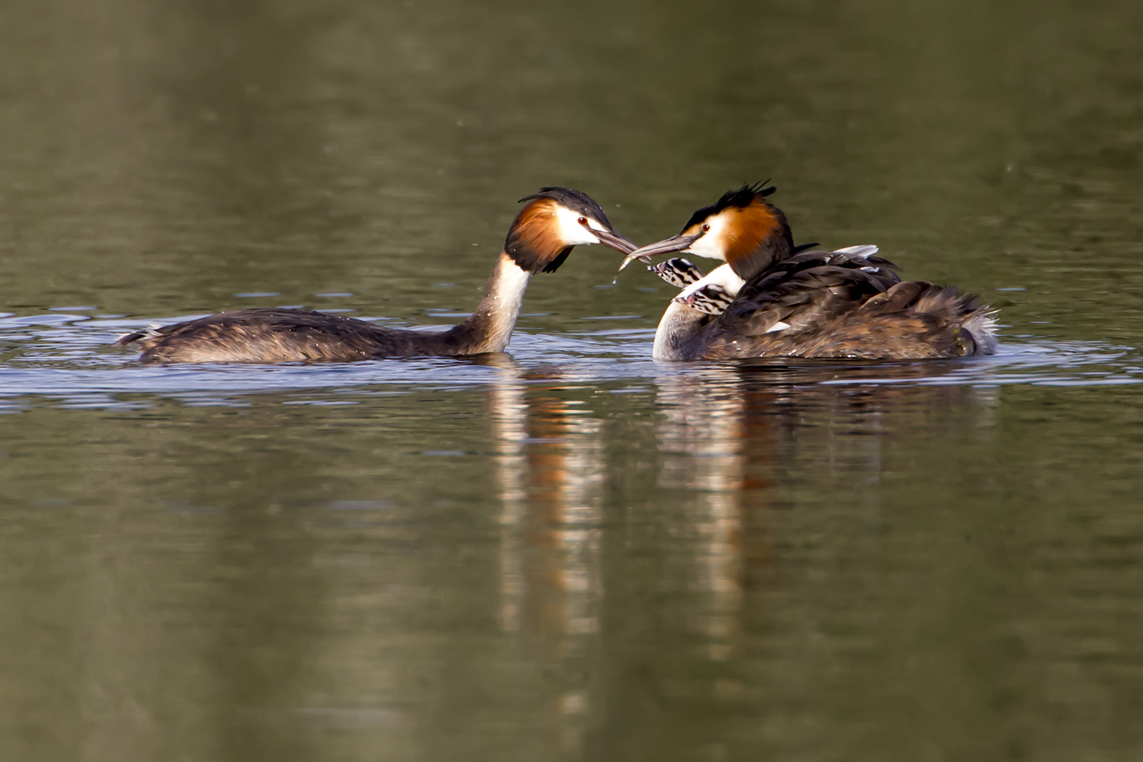 Grebe family set young ones.jpg