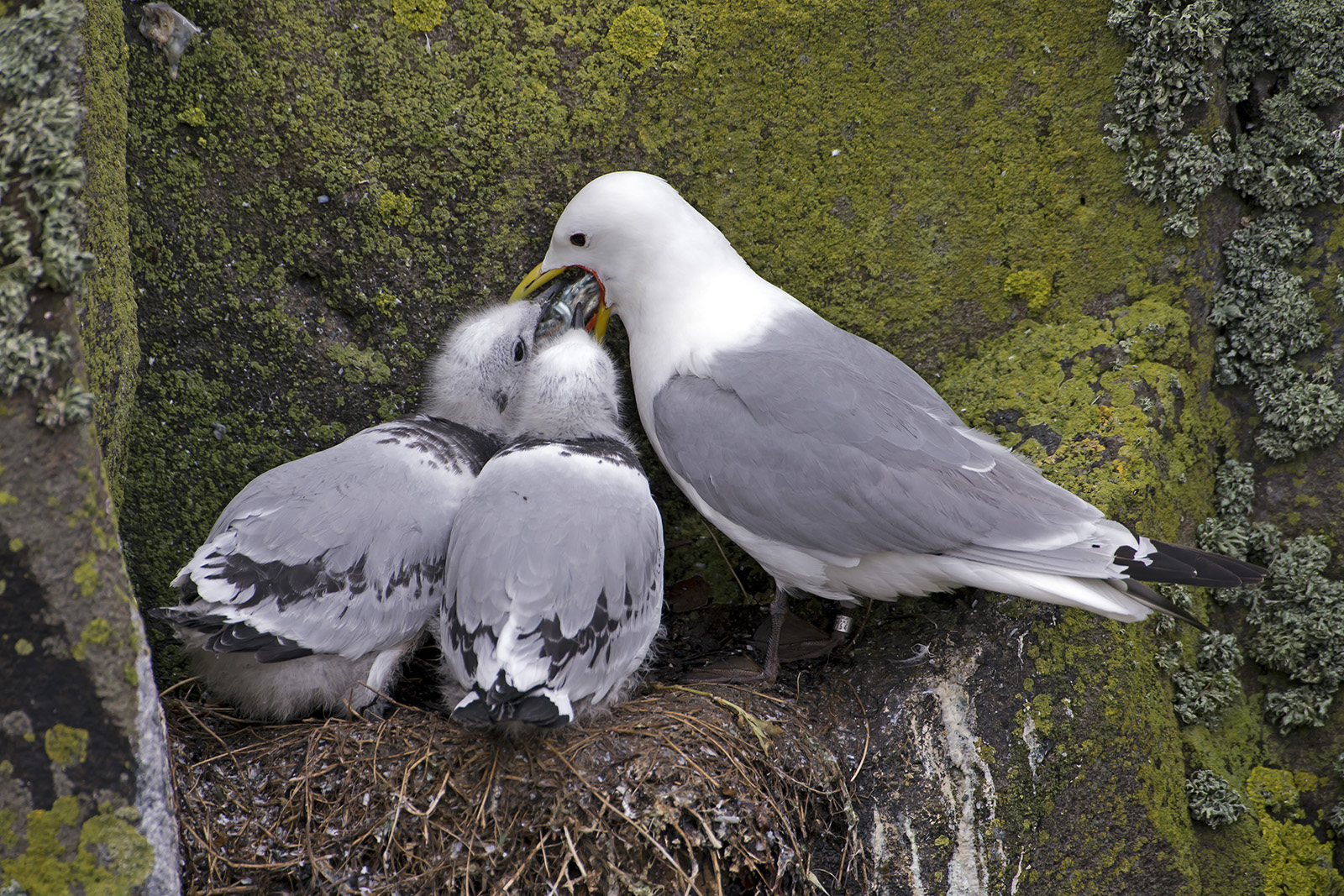 Kittiwake feeding chicks set young ones.jpg