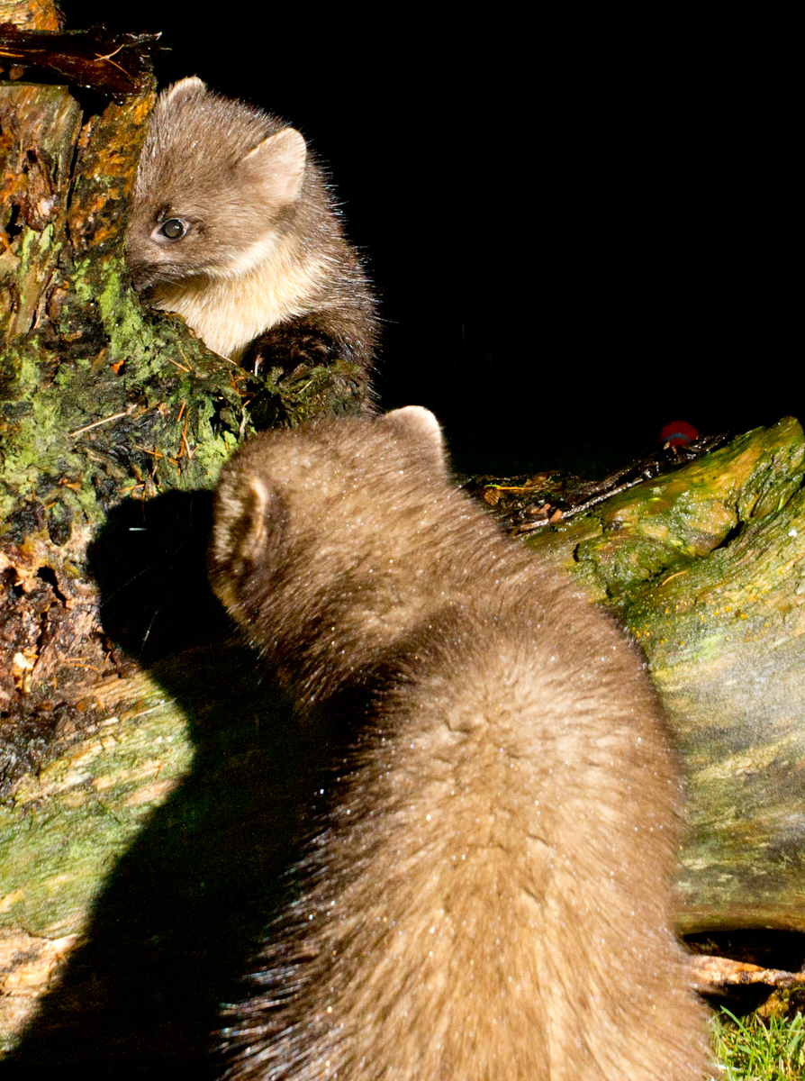 Rarely together- 2pine martens-2.jpg