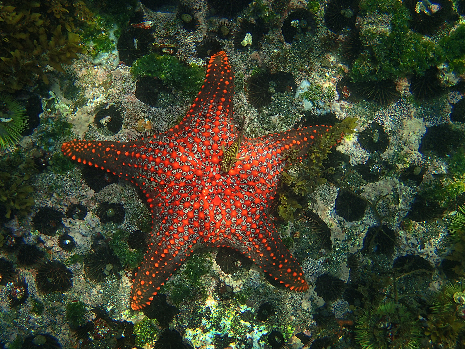 Cushion sea star.jpg