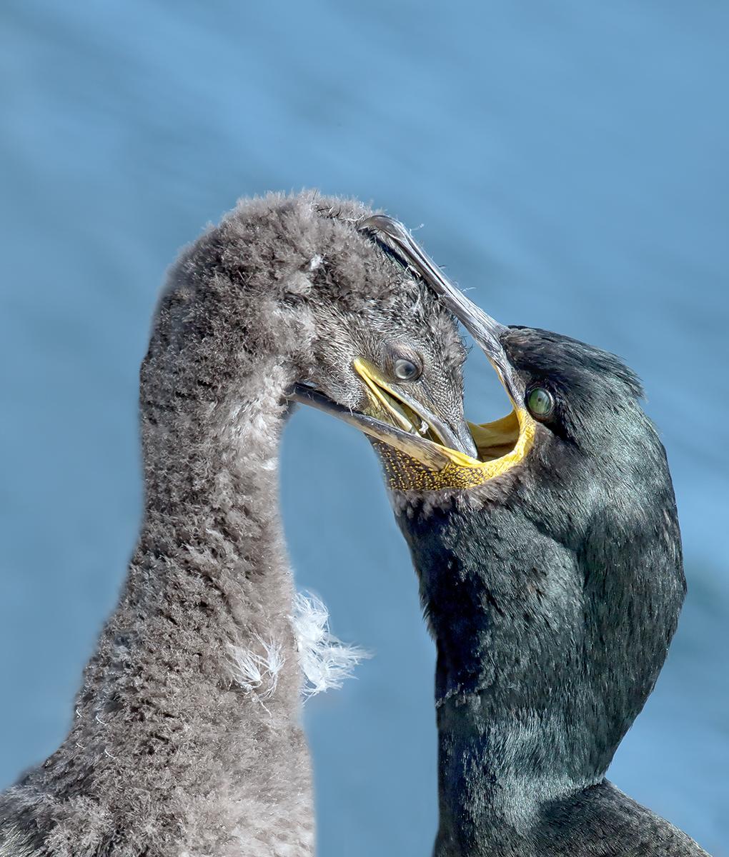 Shag feeding chick