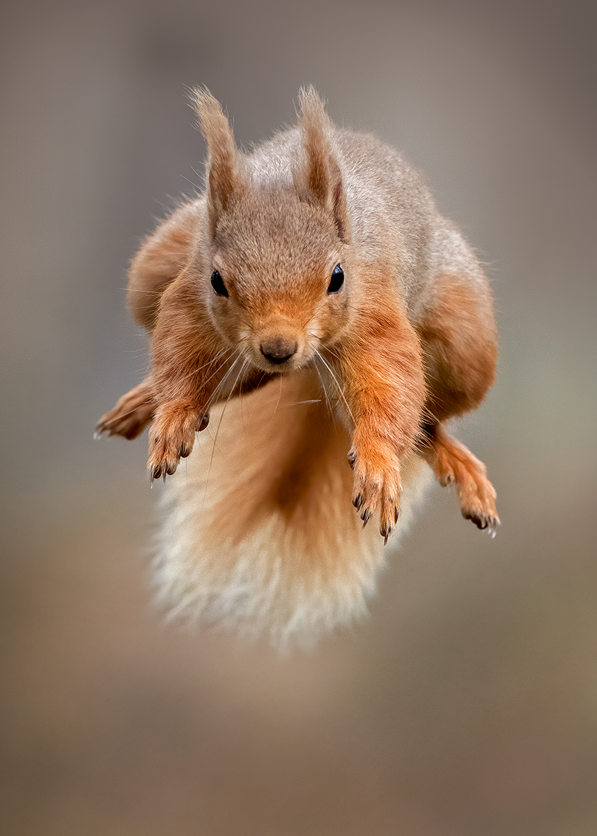 Red squirrel leap