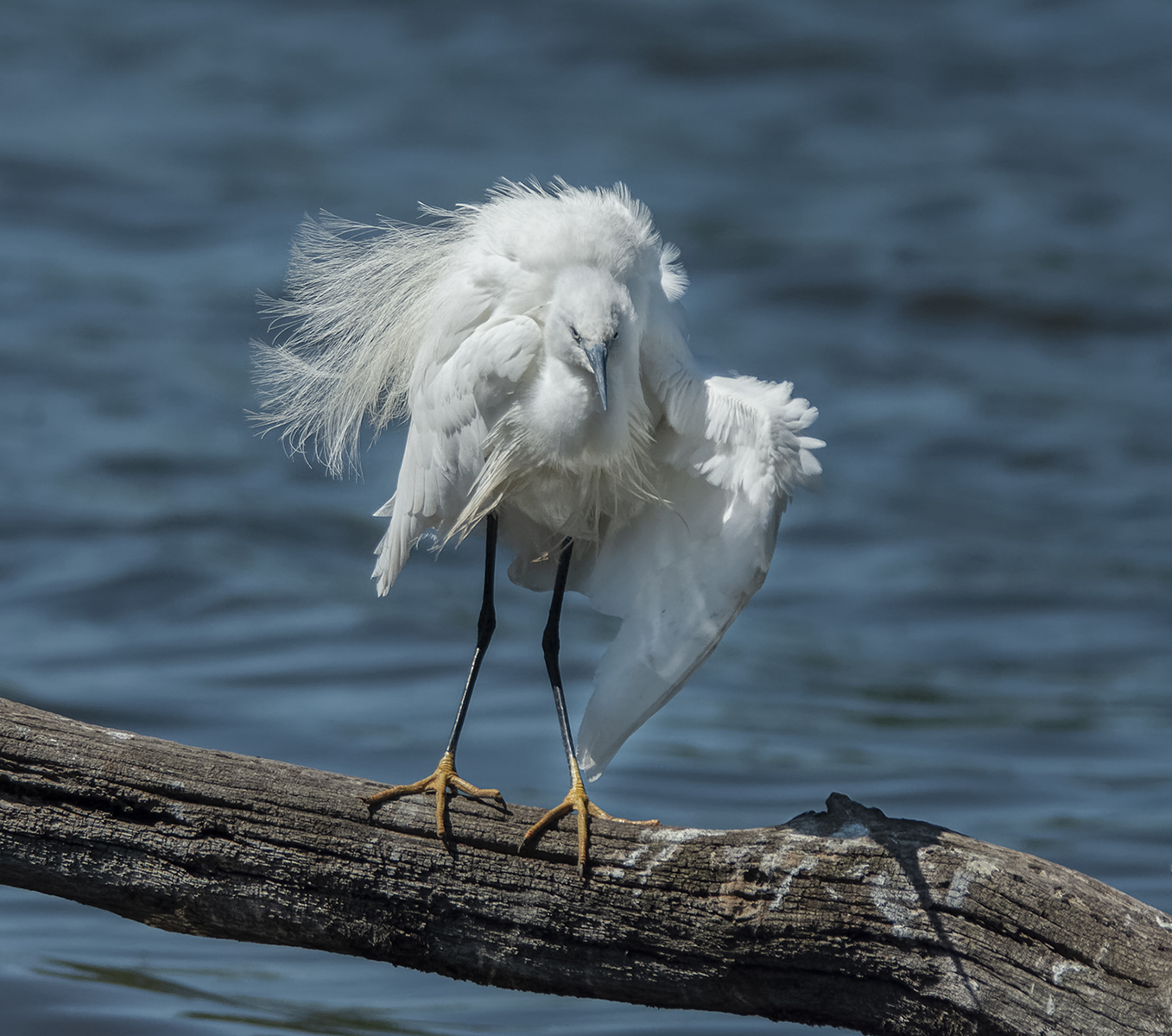 Little egret fluffing it's feathers