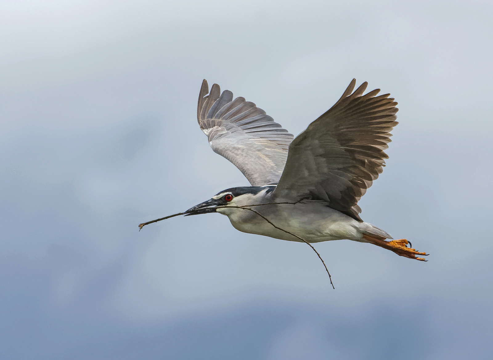 Night heron with nesting material
