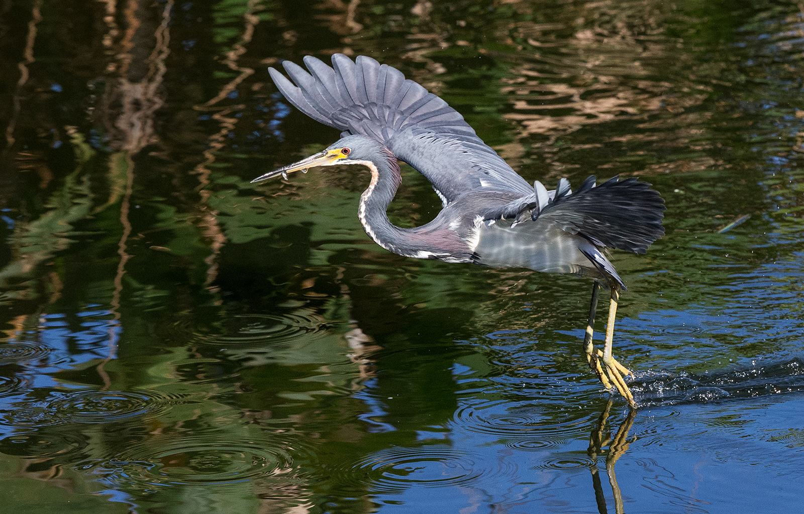 Tricoloured heron with fish