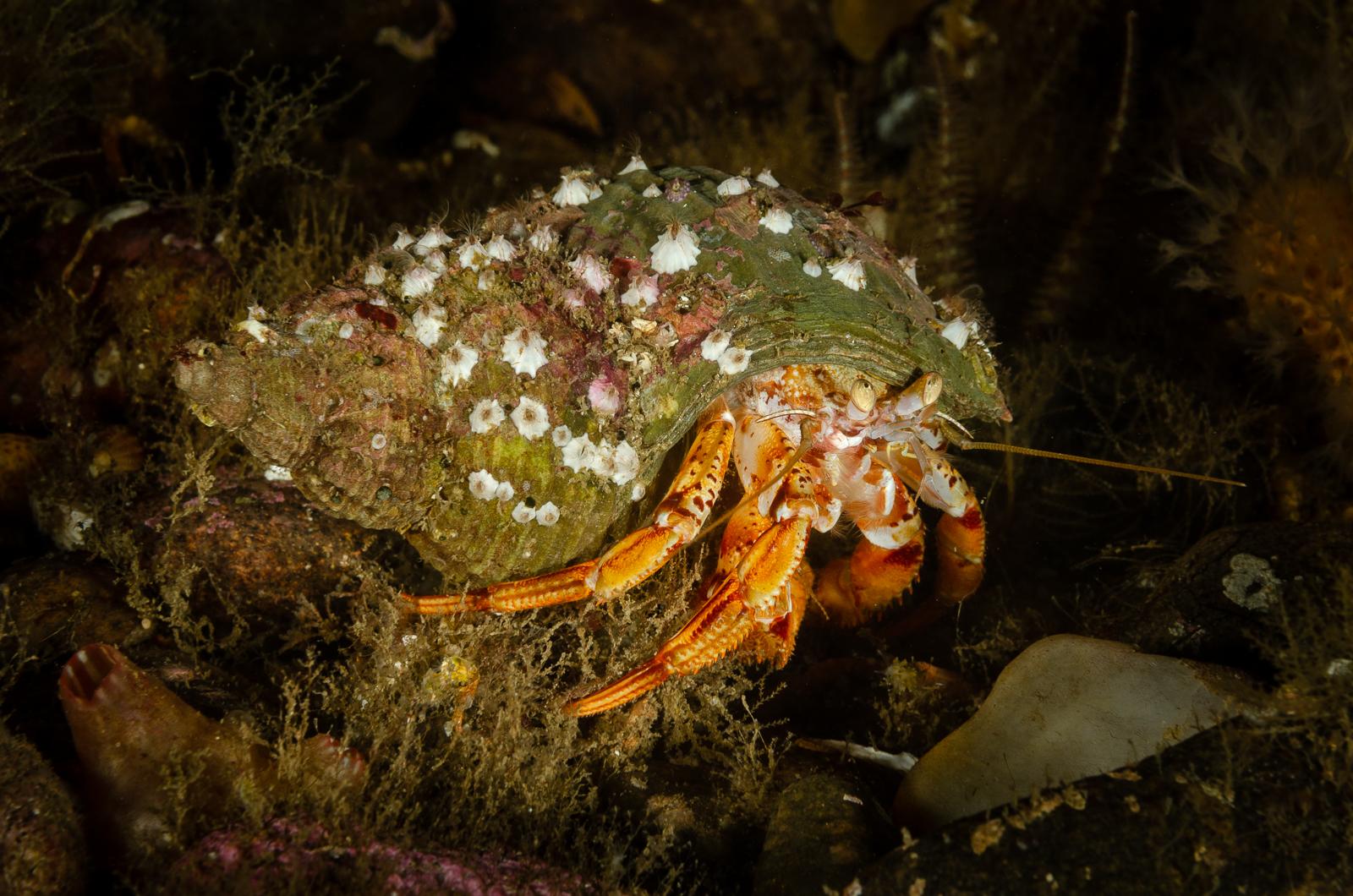 Hermit crab- loch carron