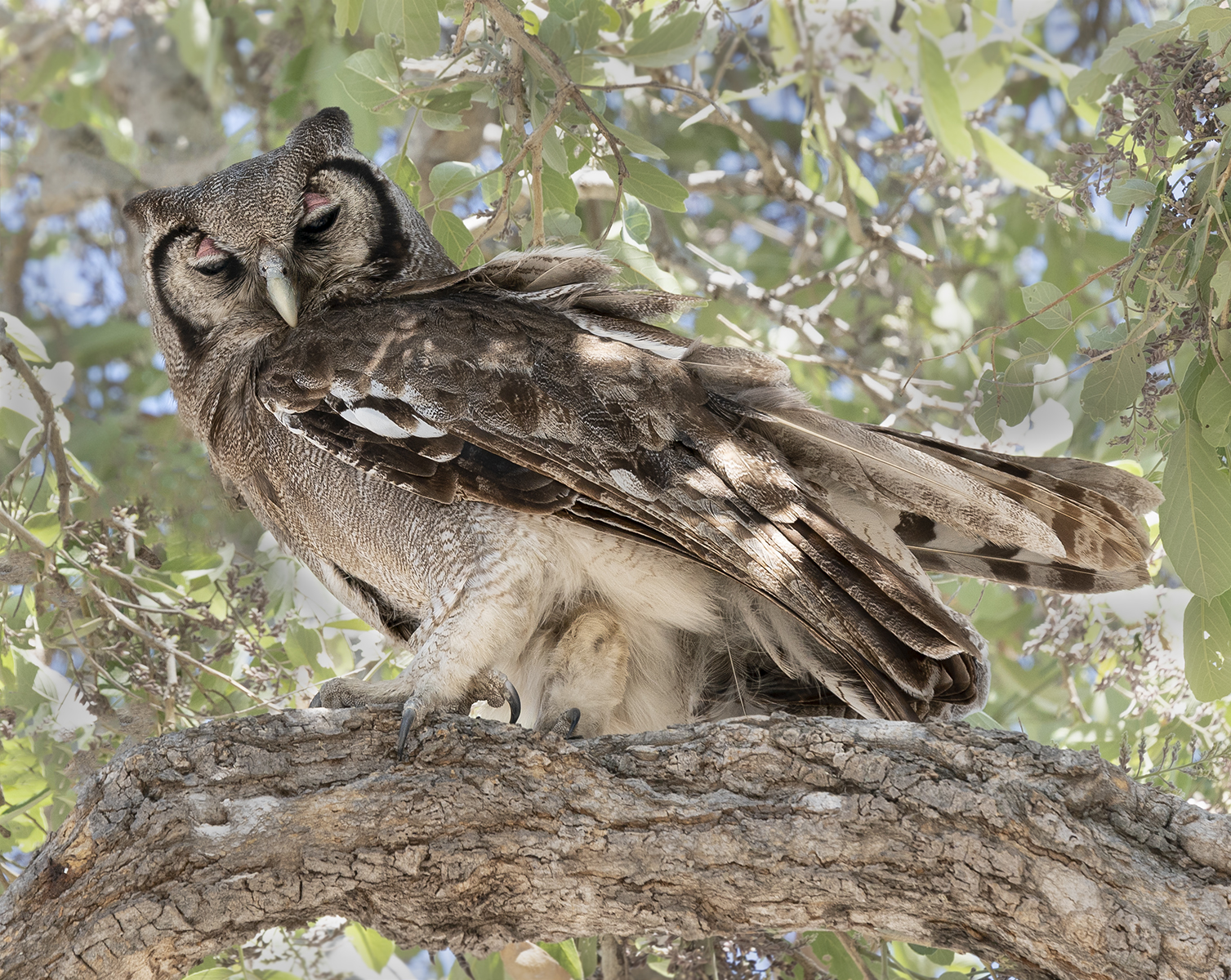 2African eagle owl