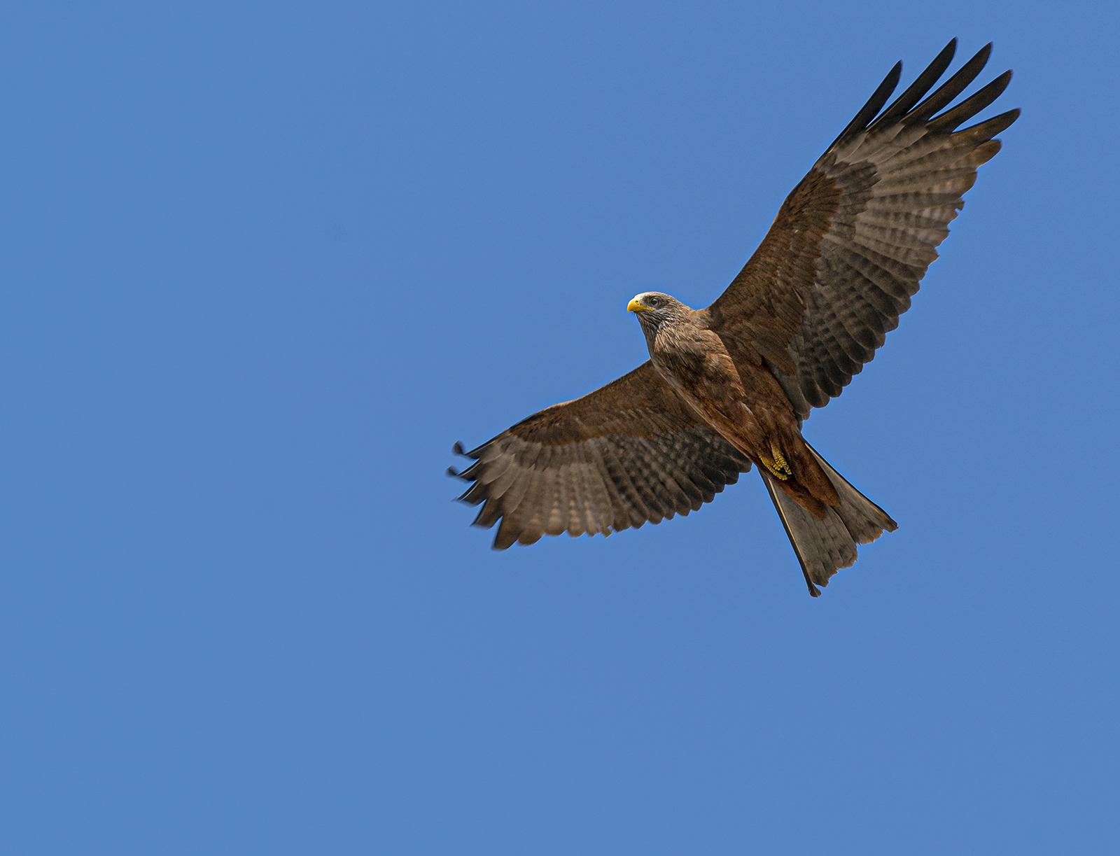 4African yellow billed kite
