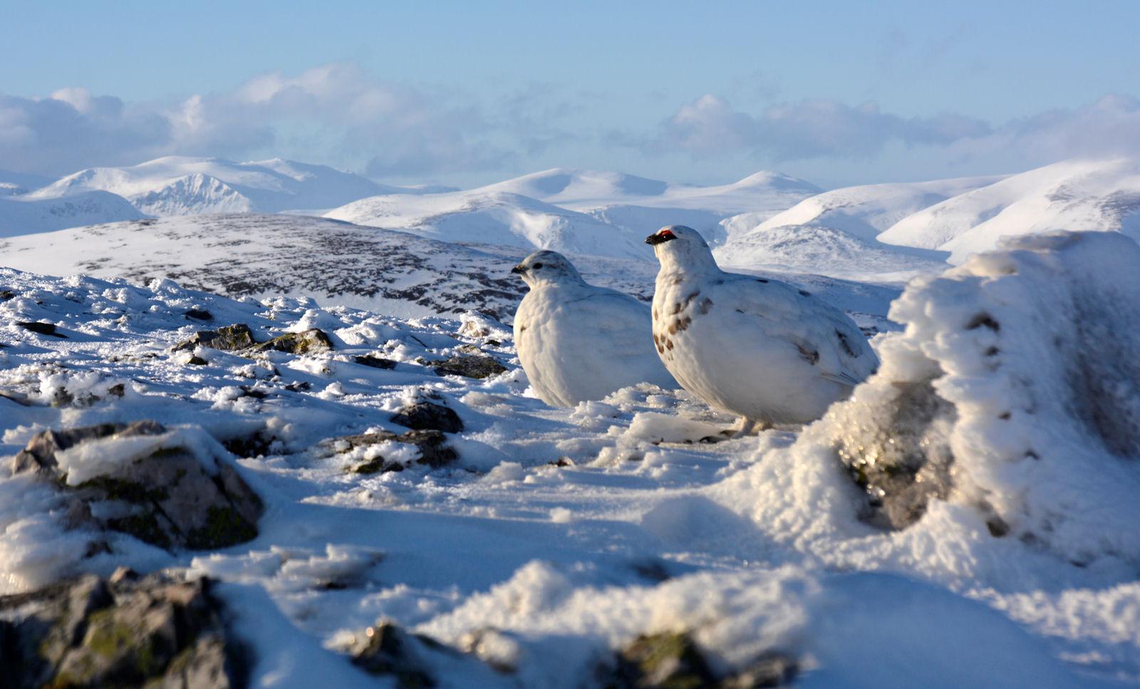 Winter ptarmigans